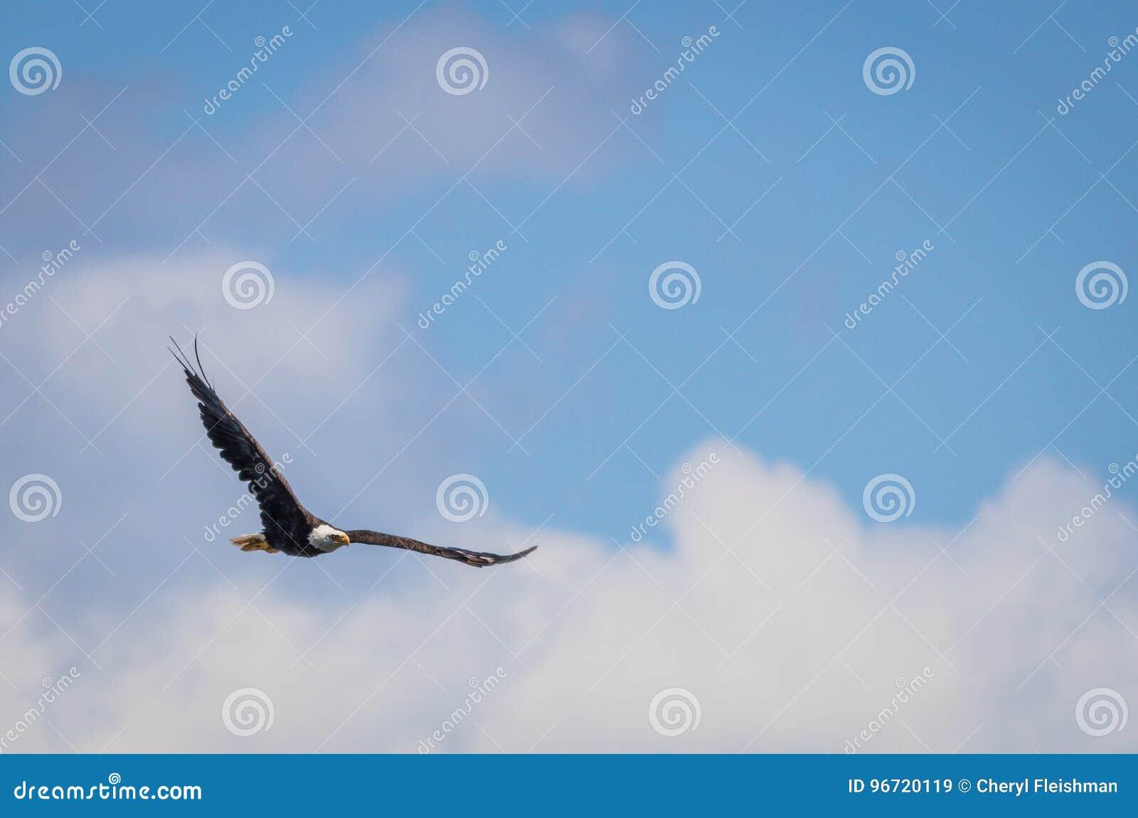 Amerykański Łysego Eagle Haliaeetus leucocephalus wznosi się w błękitnym i chmurnym niebie