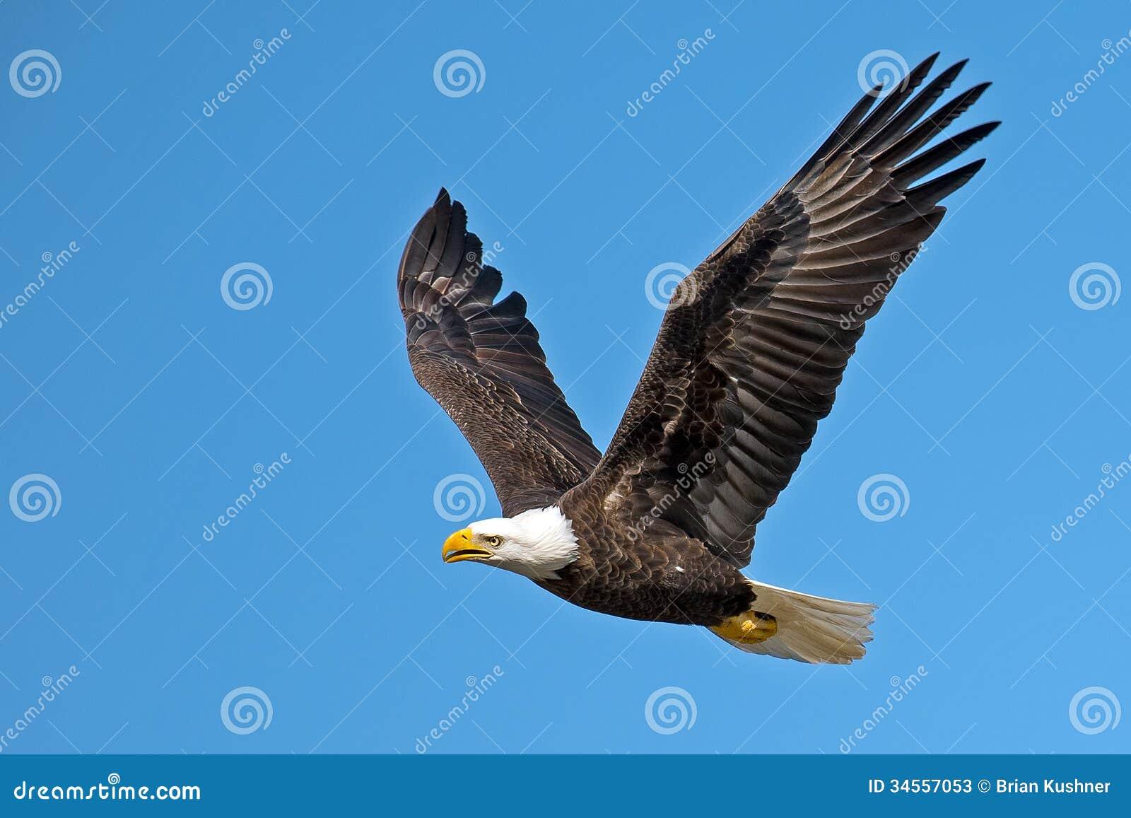 Amerykański Łysy Eagle