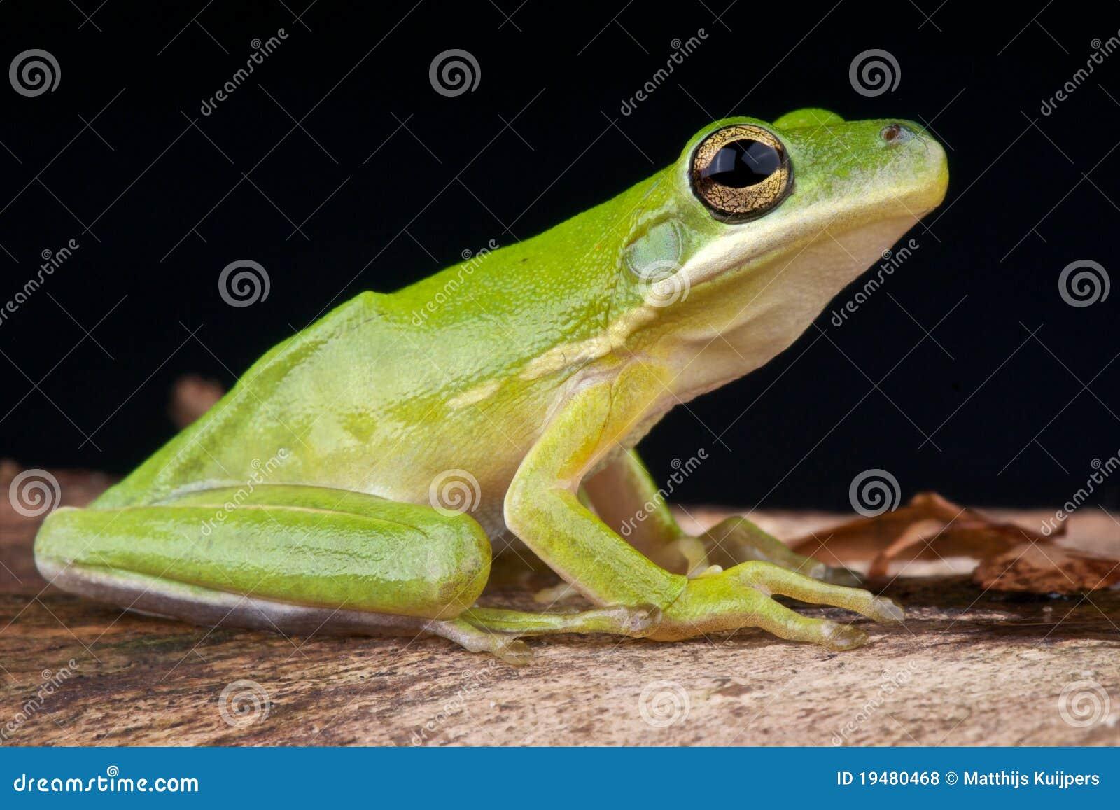 Amerykański żaby zieleni drzewo