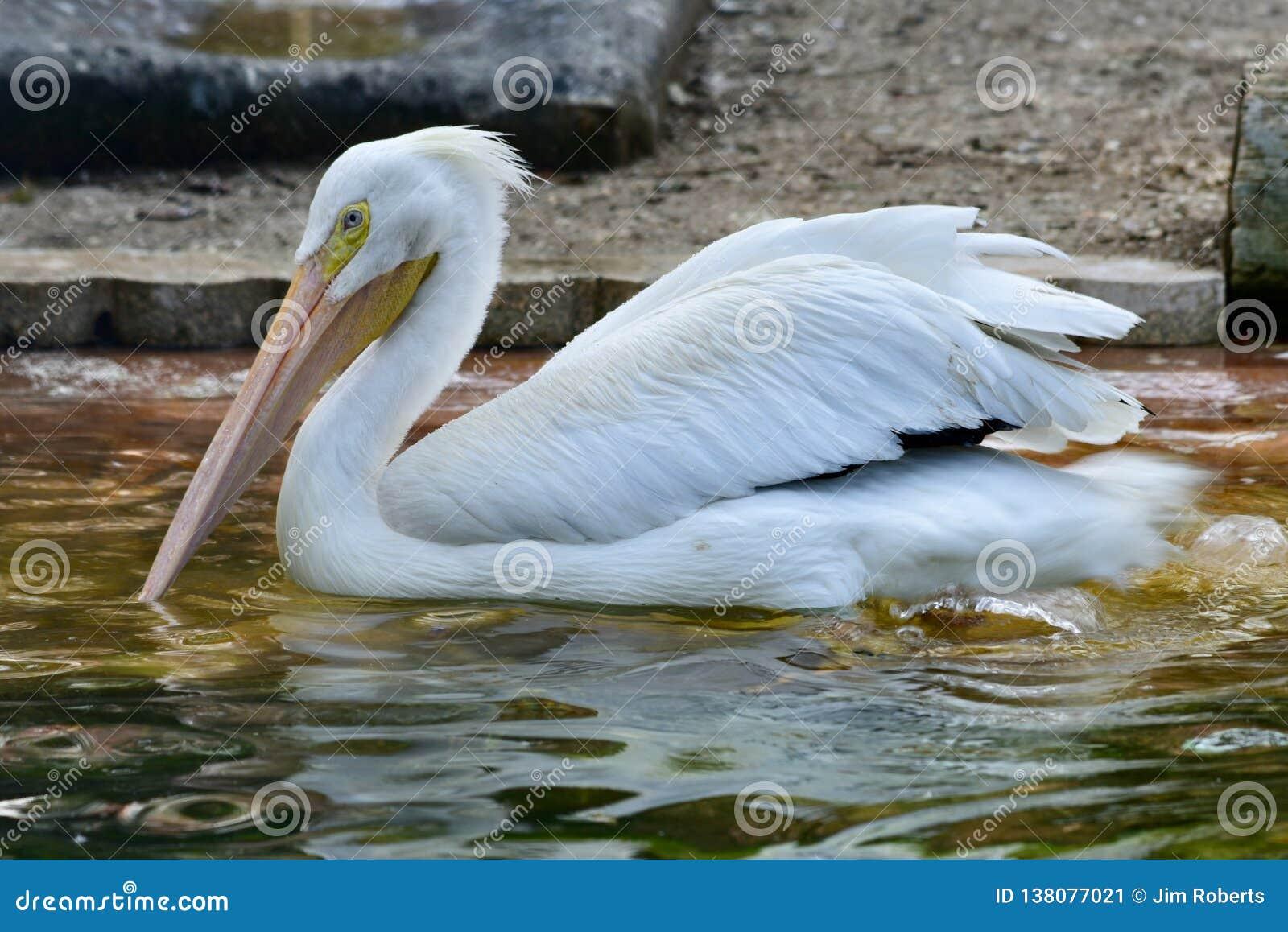 Amerykański Biały pelikan