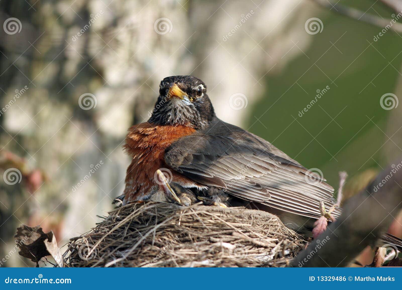 Amerykański migratorius rudzika turdus