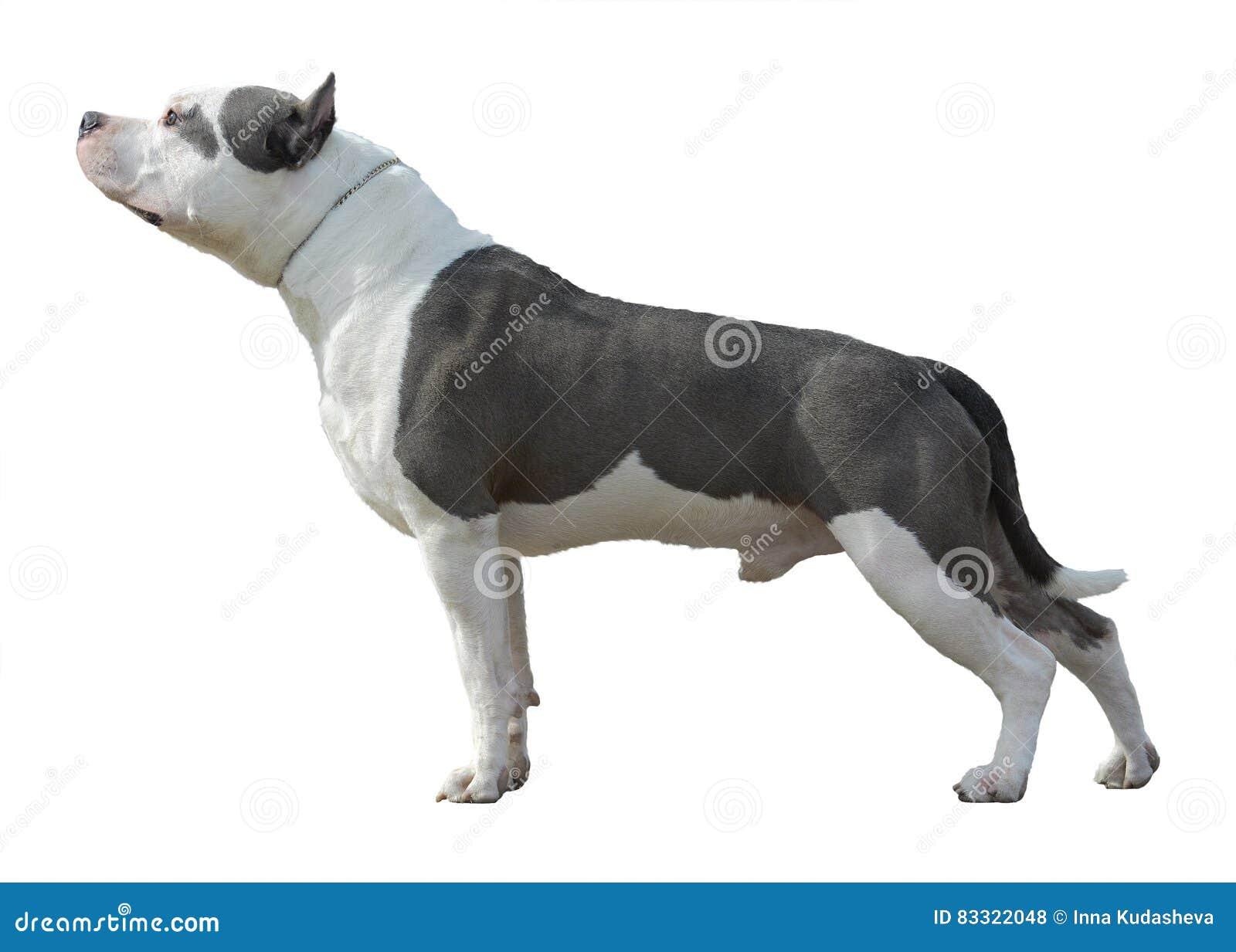 Amerykański pit bull Terrier stojak odizolowywający