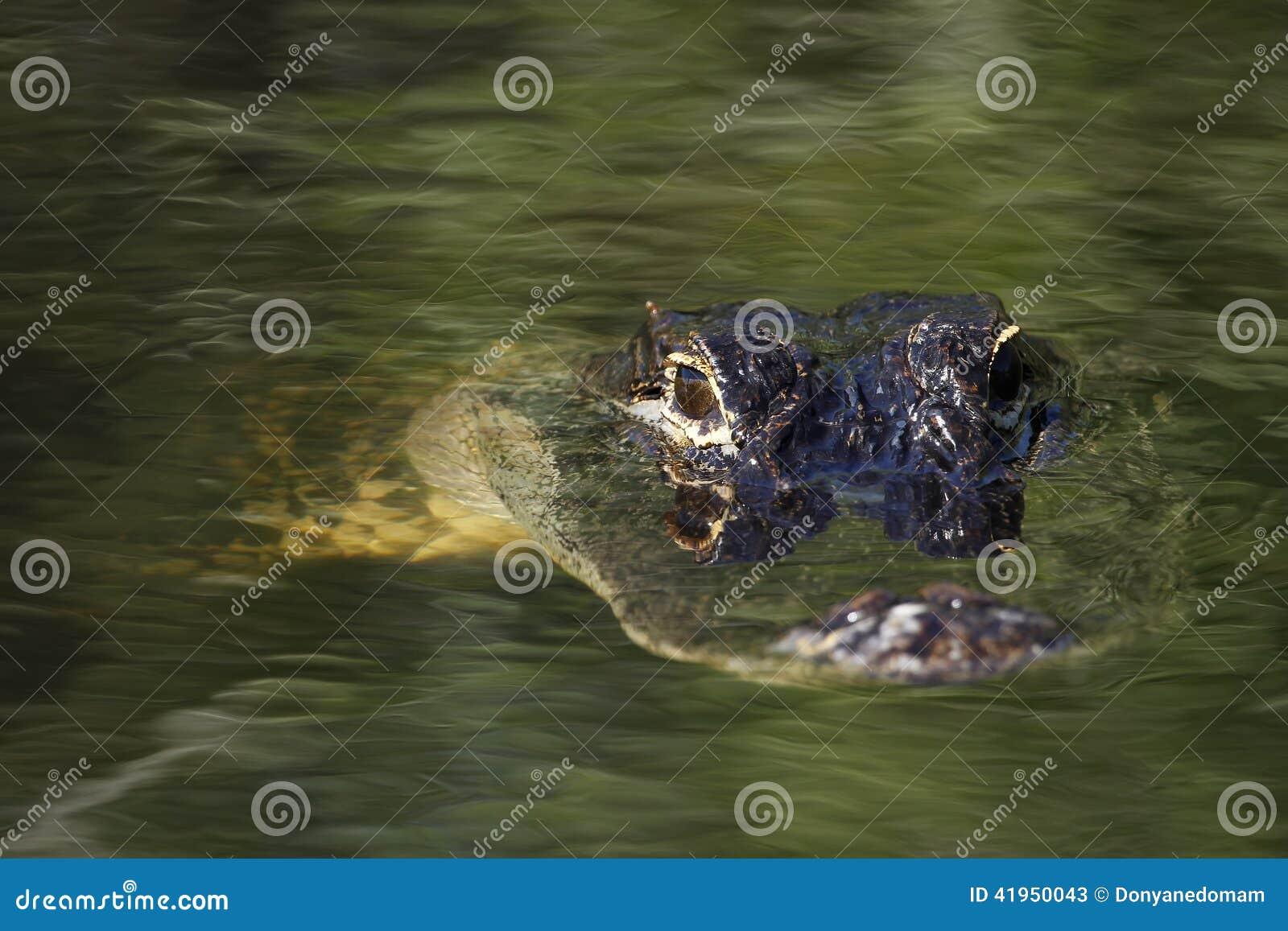 Ameryka?ski aligator w b?ota Na (aligatora mississippiensis)