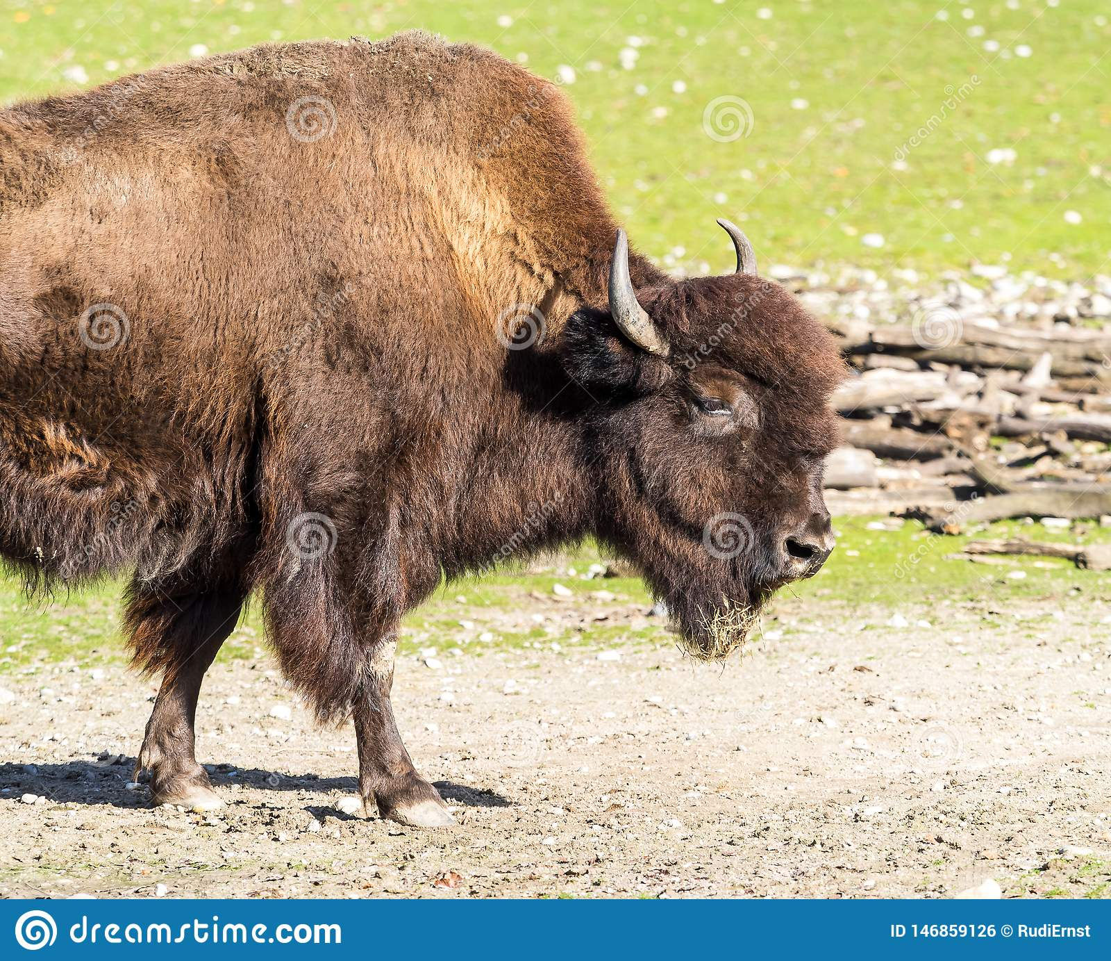Ameryka?ski bizon zna? jako ?ubr, Bos ?ubr w zoo