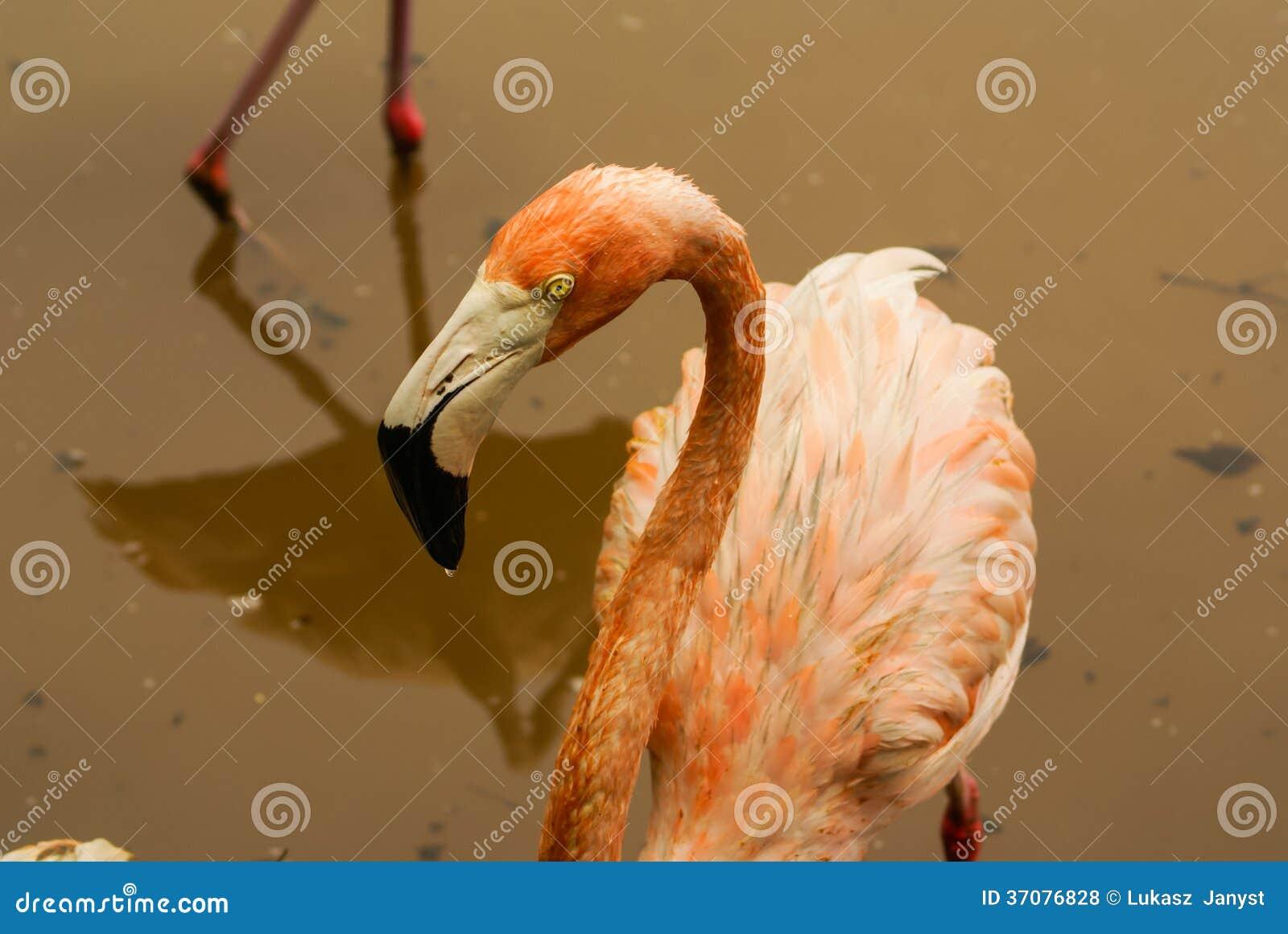Download Amerykańskie Pododmiany Karaibski Flaming (Phoenicopterus Ruber Ruber) Zdjęcie Stock - Obraz złożonej z flamingi, migreny: 37076828