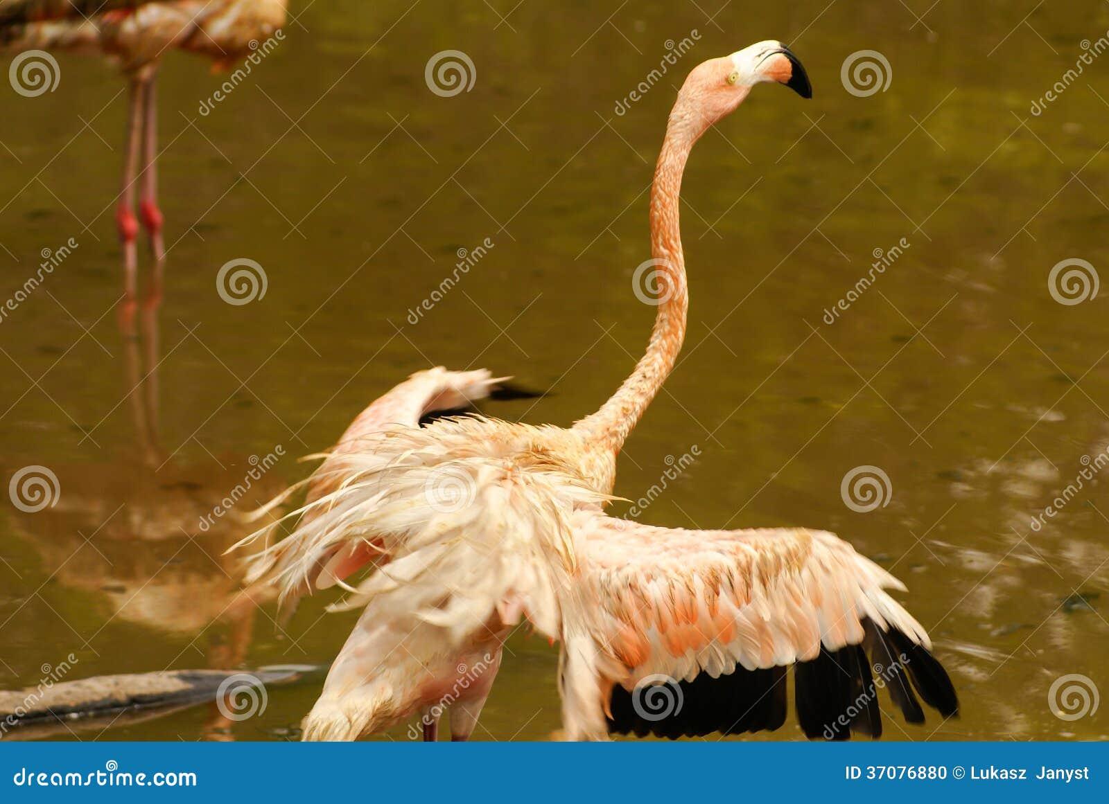 Download Amerykańskie Pododmiany Karaibski Flaming (Phoenicopterus Ruber Ruber) Zdjęcie Stock - Obraz złożonej z greenbacks, kierdel: 37076880