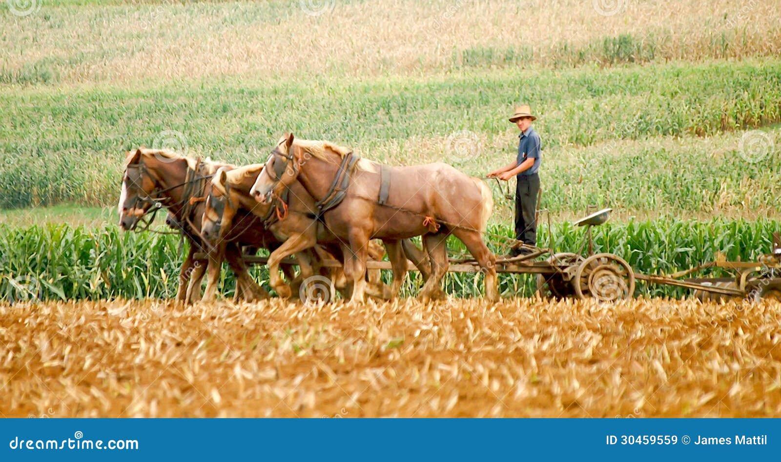 Amish pługu i rolnika konie