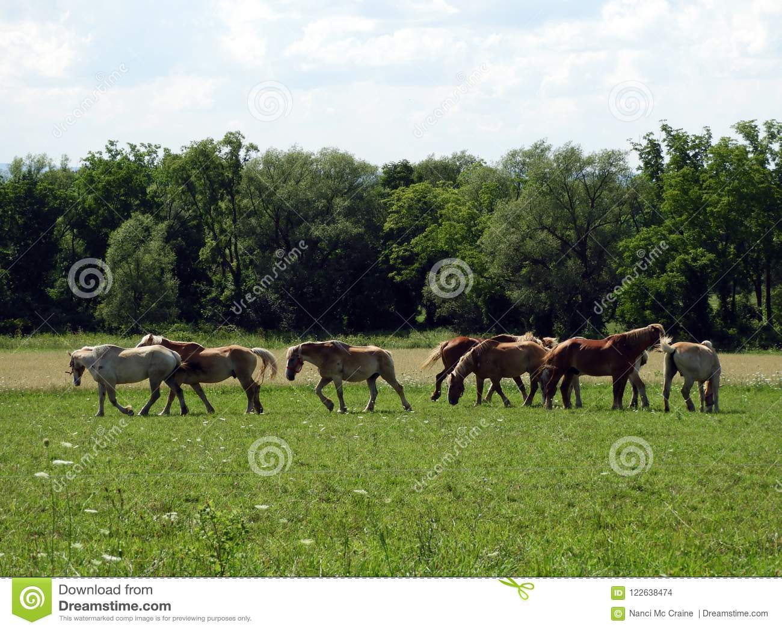 Amish pracy konie relaksują w polu