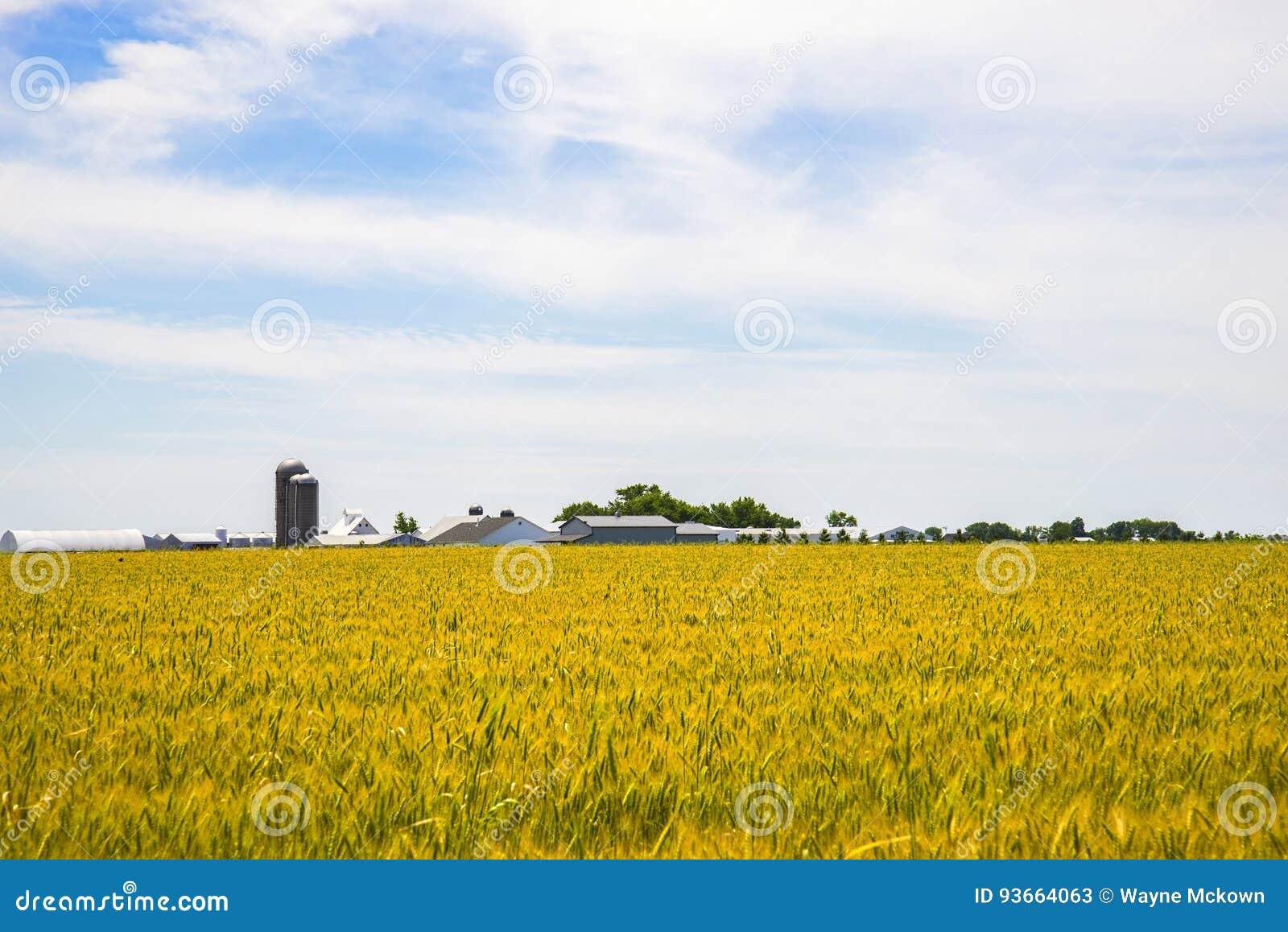 Amishlandbouwbedrijf en tarwegebied