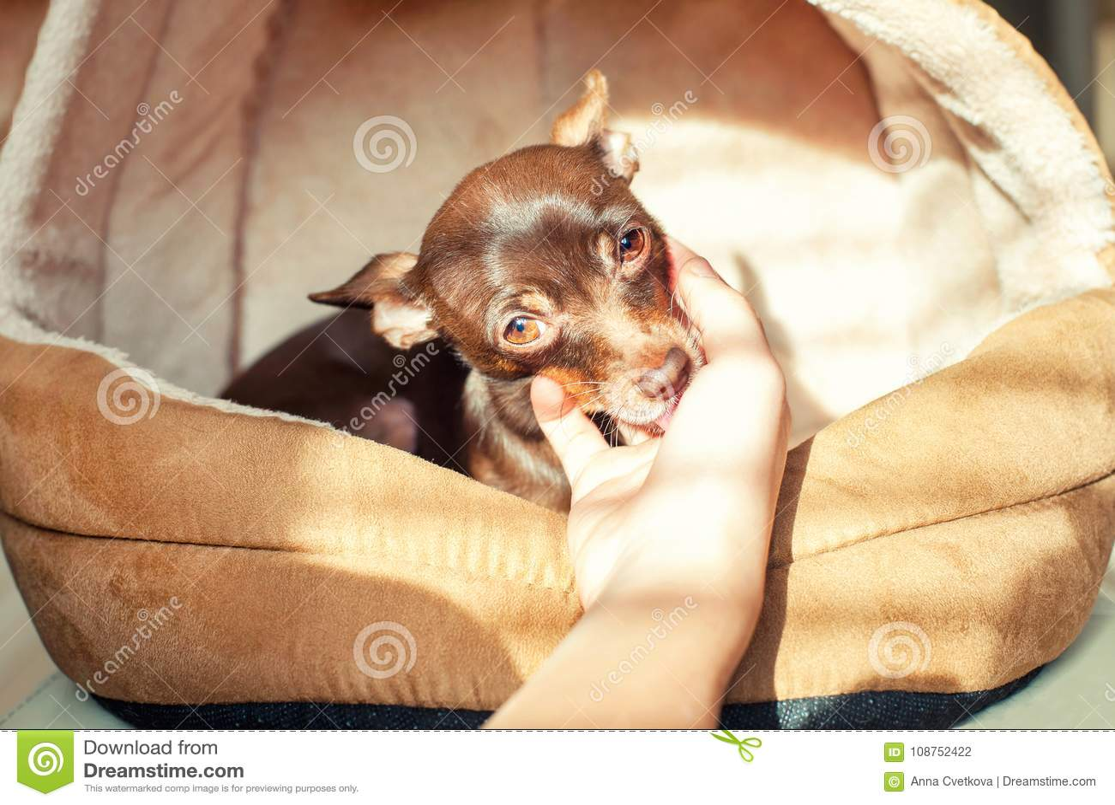 Amistad, confiando en, dedicación Poco perro de juguete-Terrier que lame y
