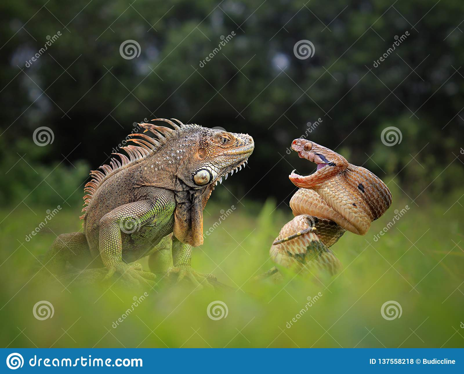 Amistad peligrosa de la iguana y de la serpiente