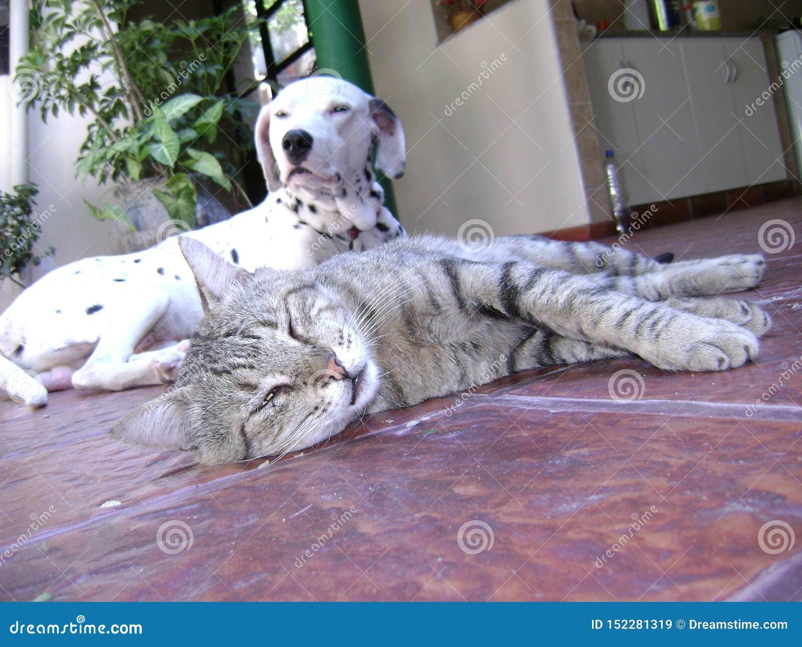 Amizade Dalmatian do cão e gato