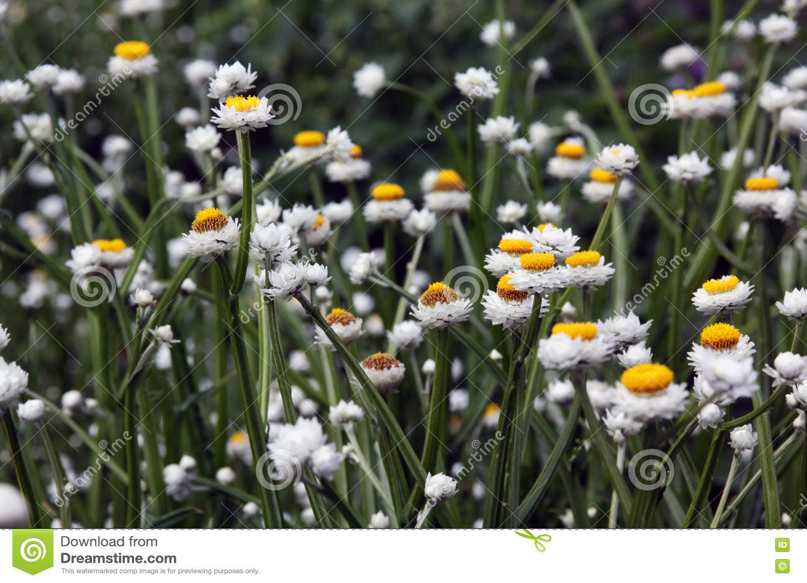Ammobium white flower