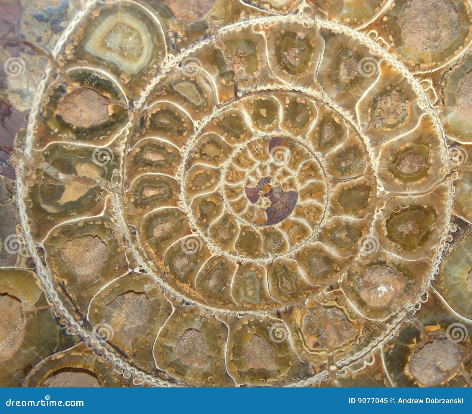 Ammonit-versteinerter Querschnitt