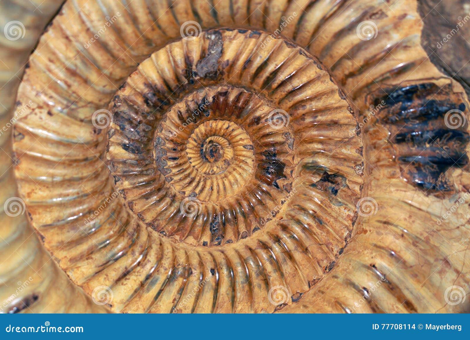 Ammonoids are an extinct group of marine mollusc animals