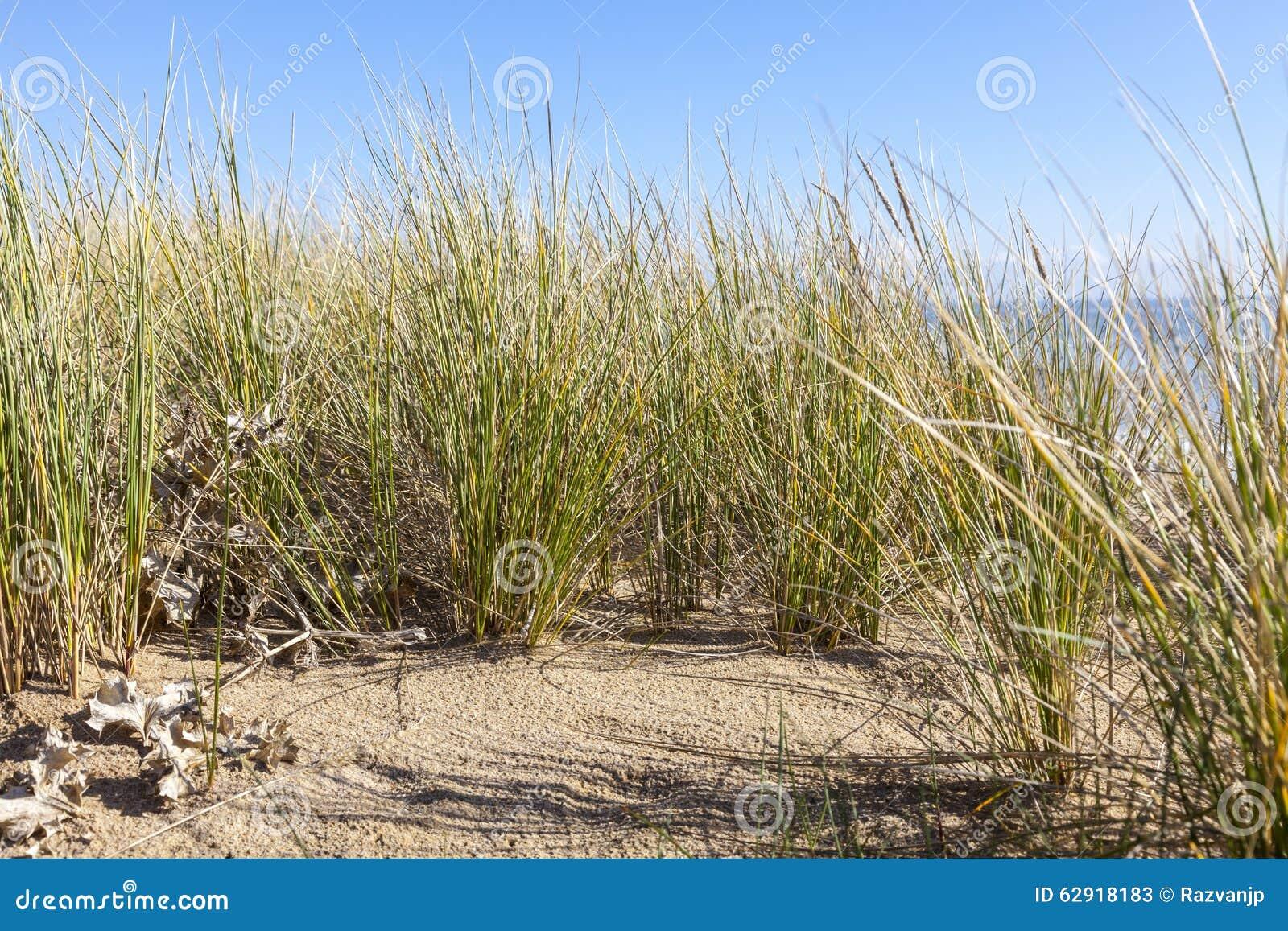 Ammophila -在沙丘的具体草