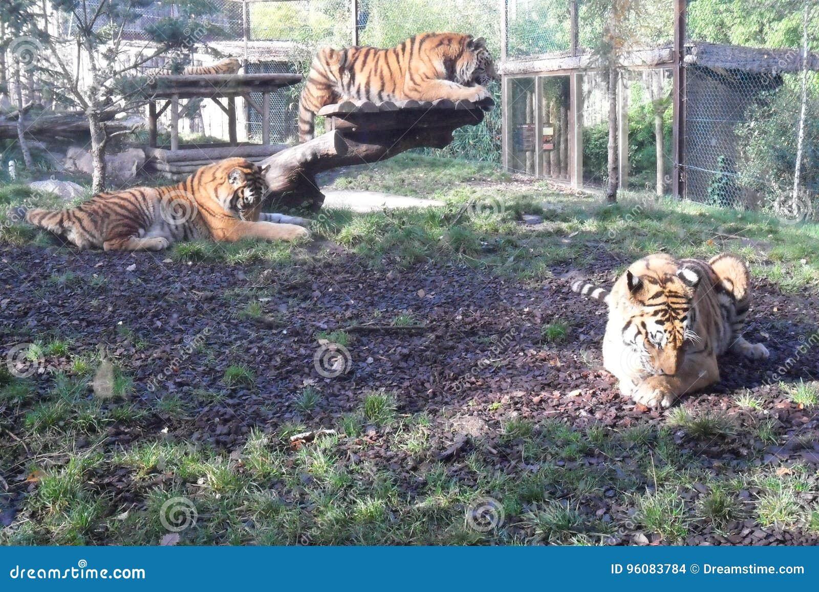 Amneville-Zoo: Baumtiger