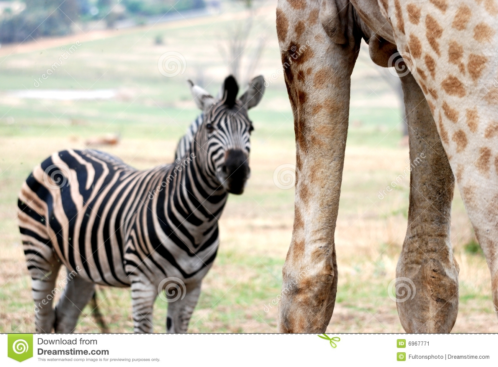 amongst giants zebra vs giraffe stock image image of