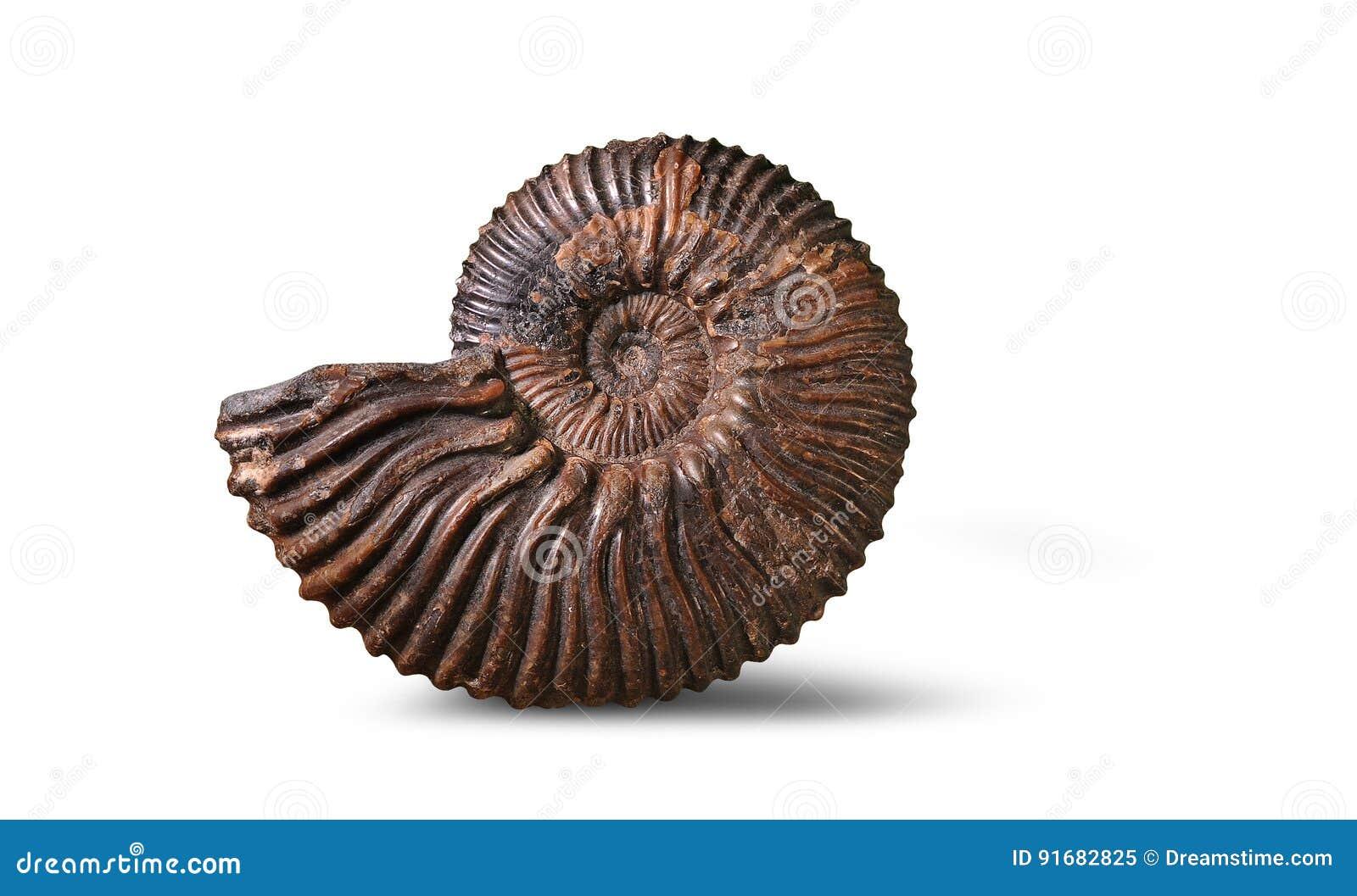 Amonite - molusco fóssil