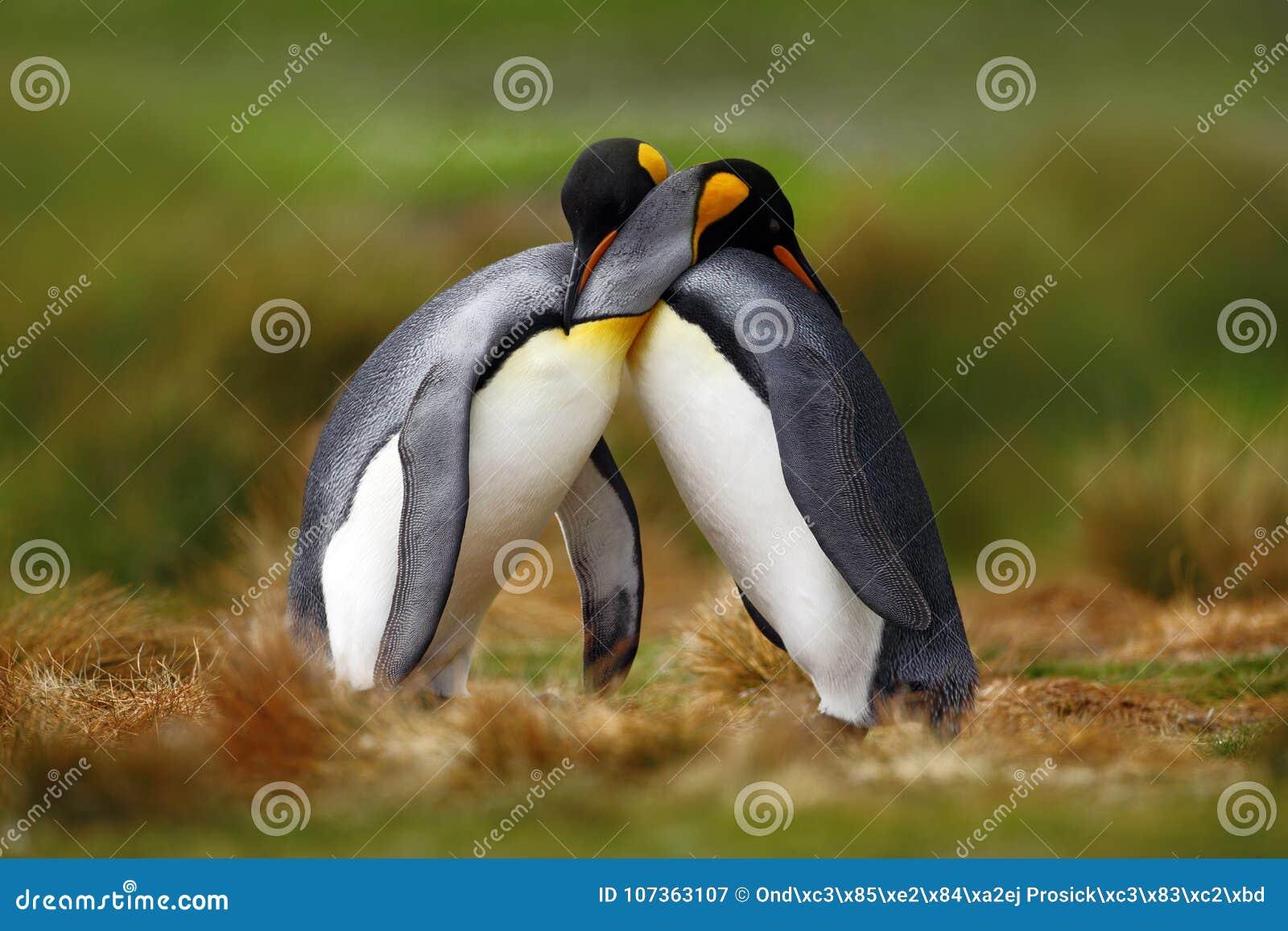 Amor animal Pares que afagam, natureza selvagem do pinguim de rei, fundo verde Dois pinguins que fazem o amor Na grama Cena f dos