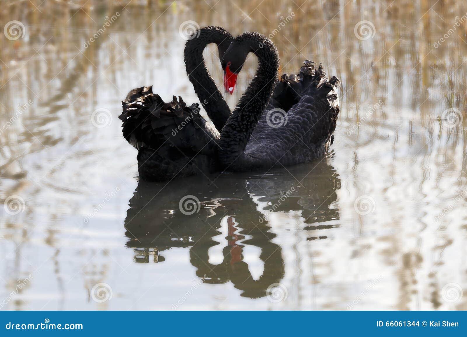 Amor da cisne