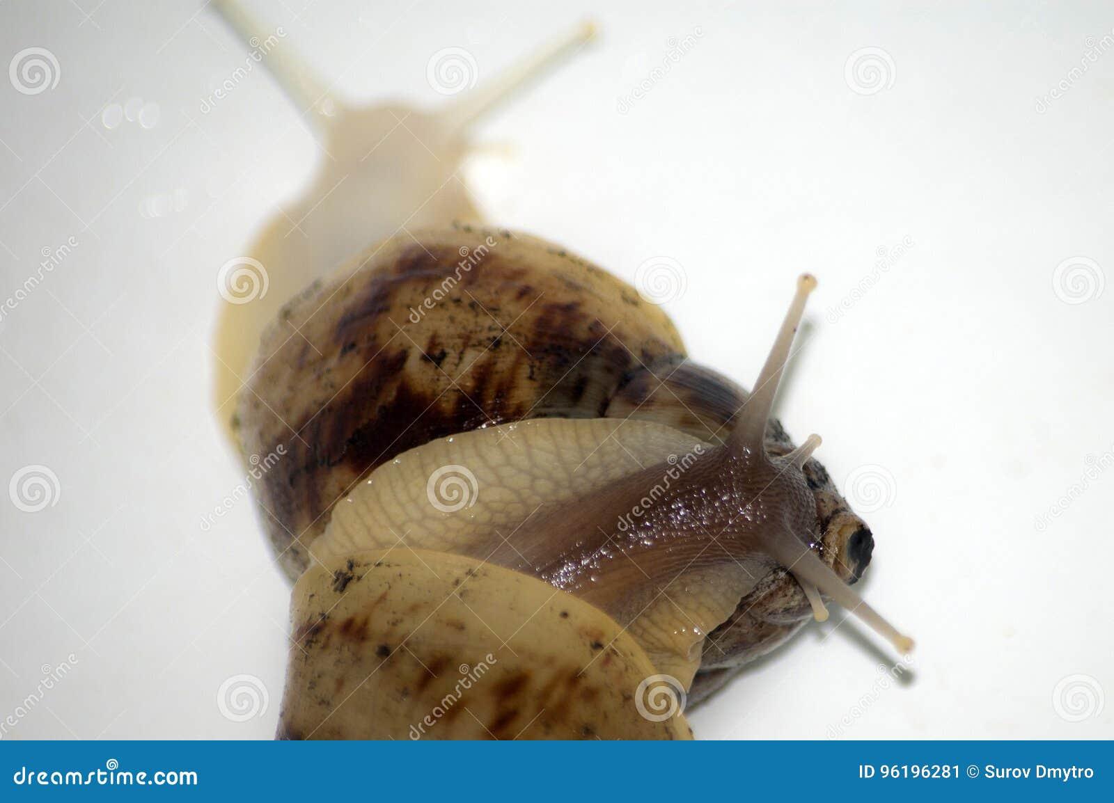 Amor de los caracoles con el aislante blanco