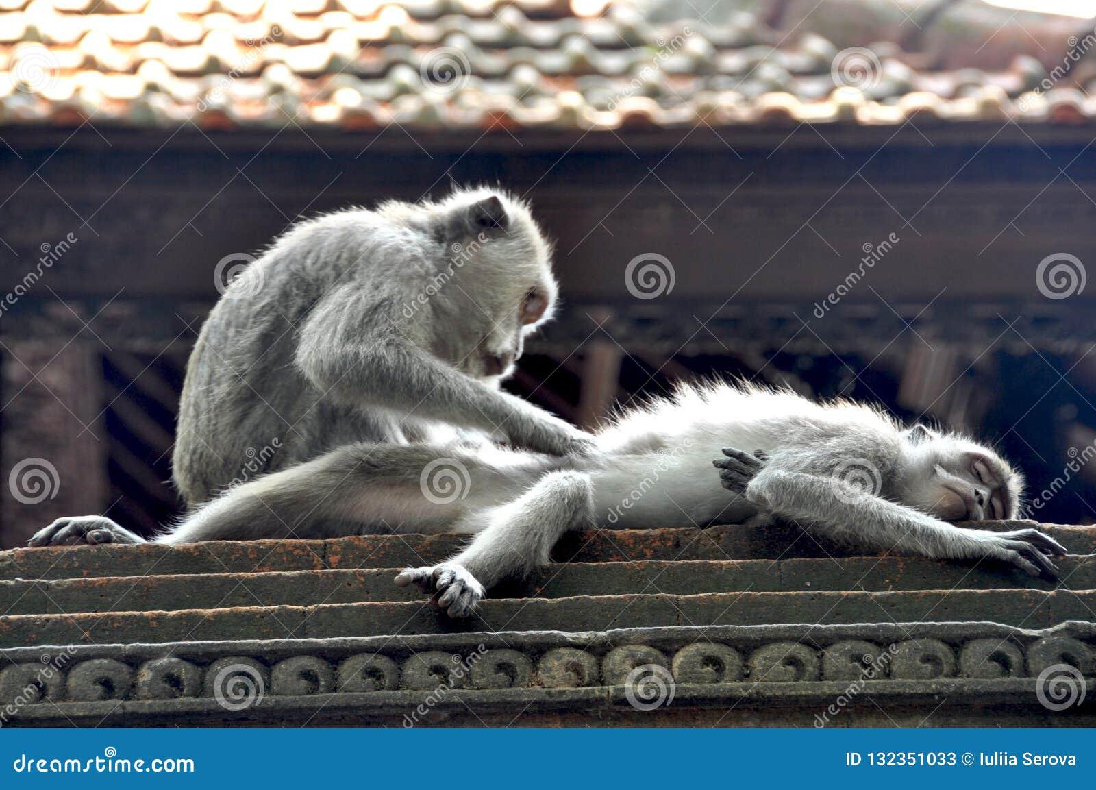 Amor de Monkey's en Bali