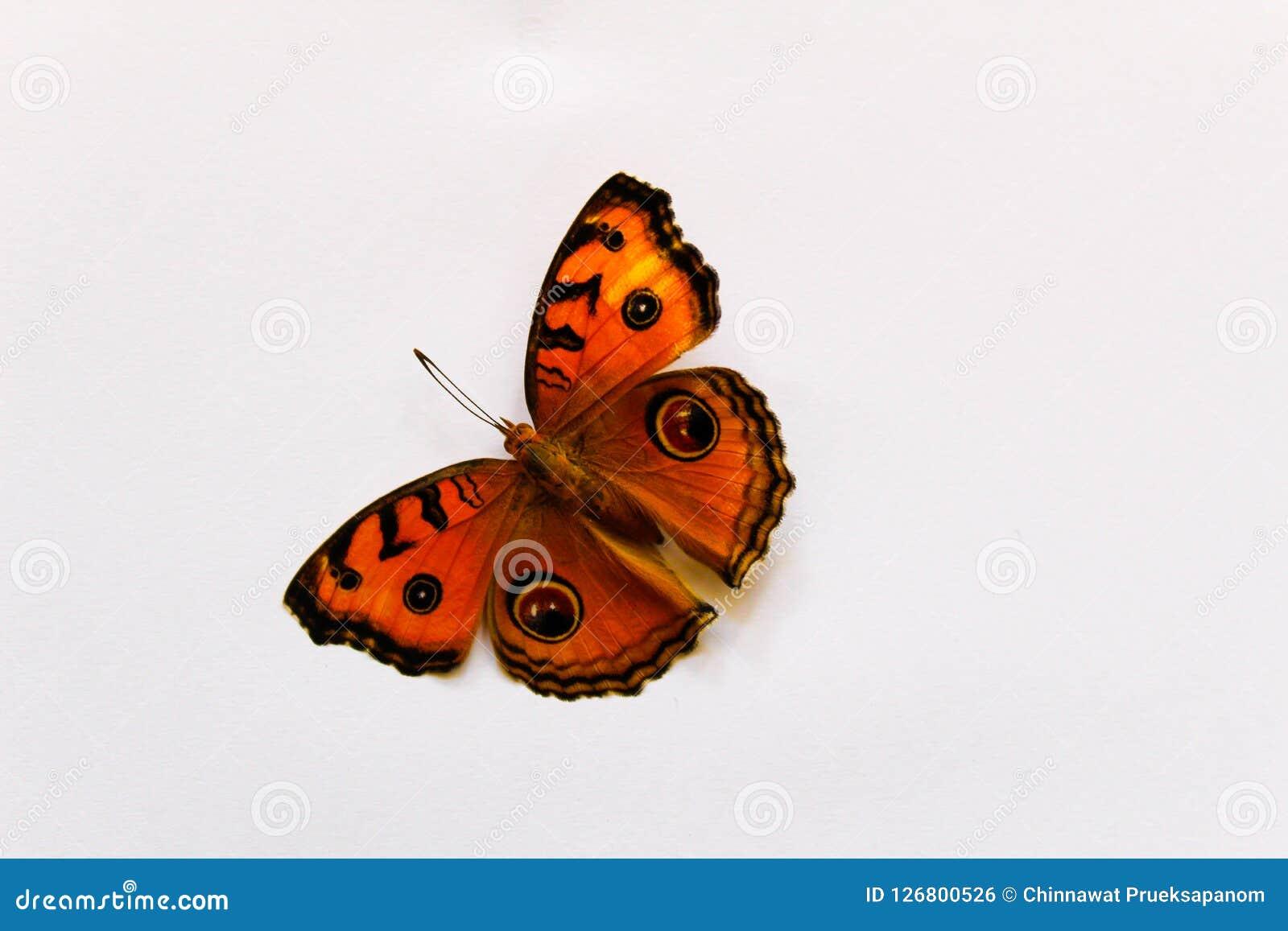 Amor perfeito do pavão da borboleta bonito