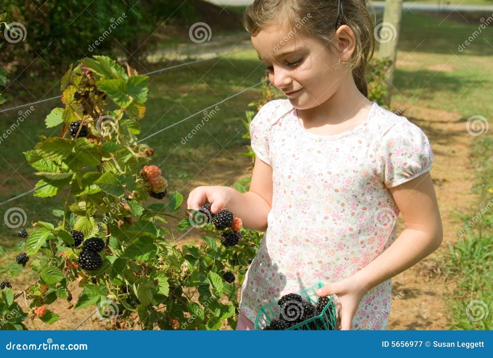Amoras-pretas da colheita da menina
