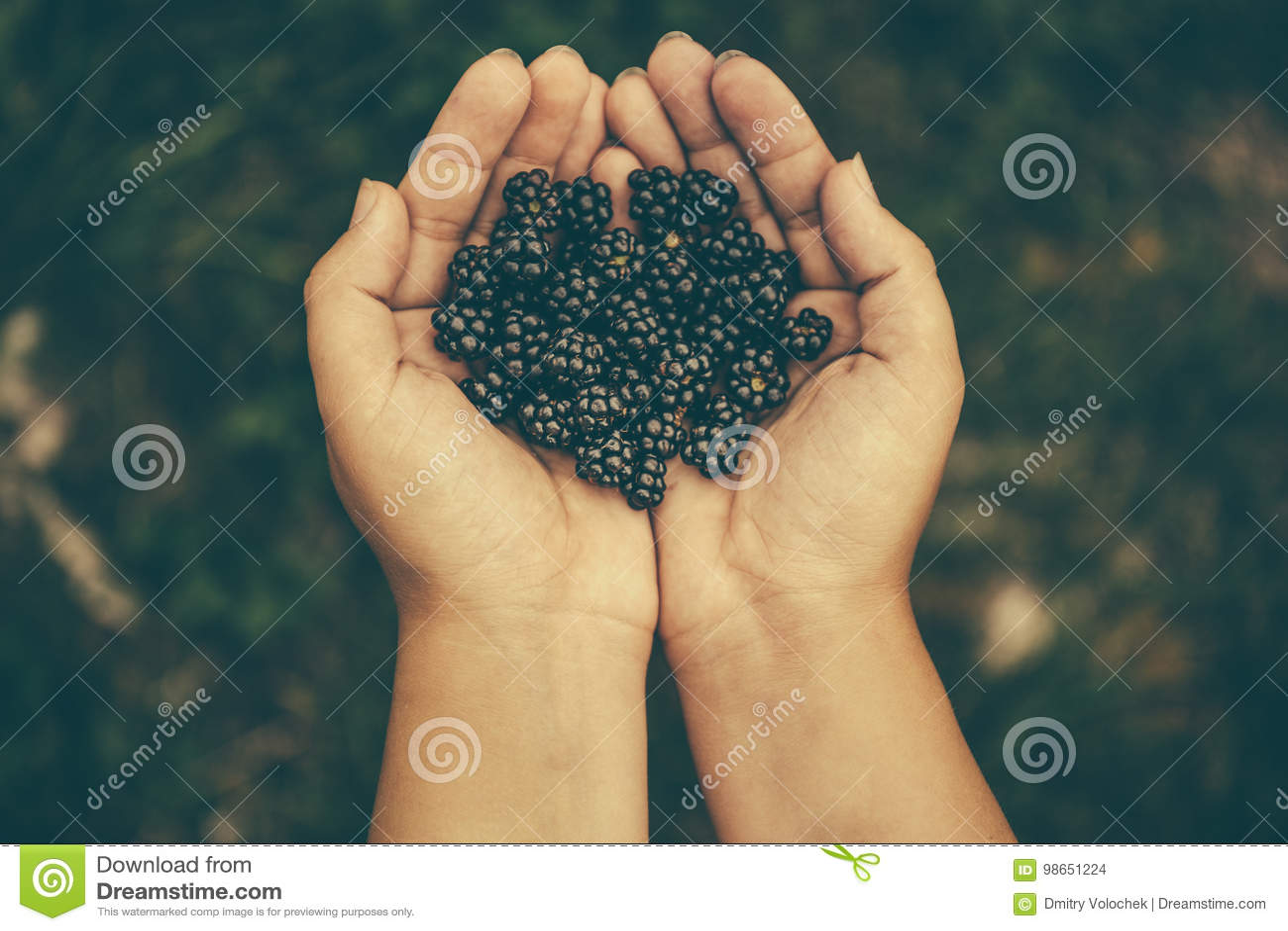 Amoras-pretas pretas frescas nas mãos do ` s da menina, vista superior