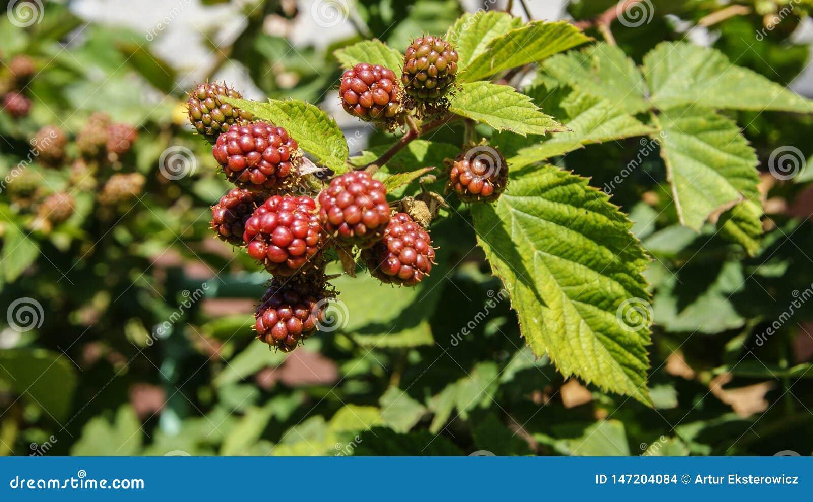 Amoras-pretas verdes no arbusto
