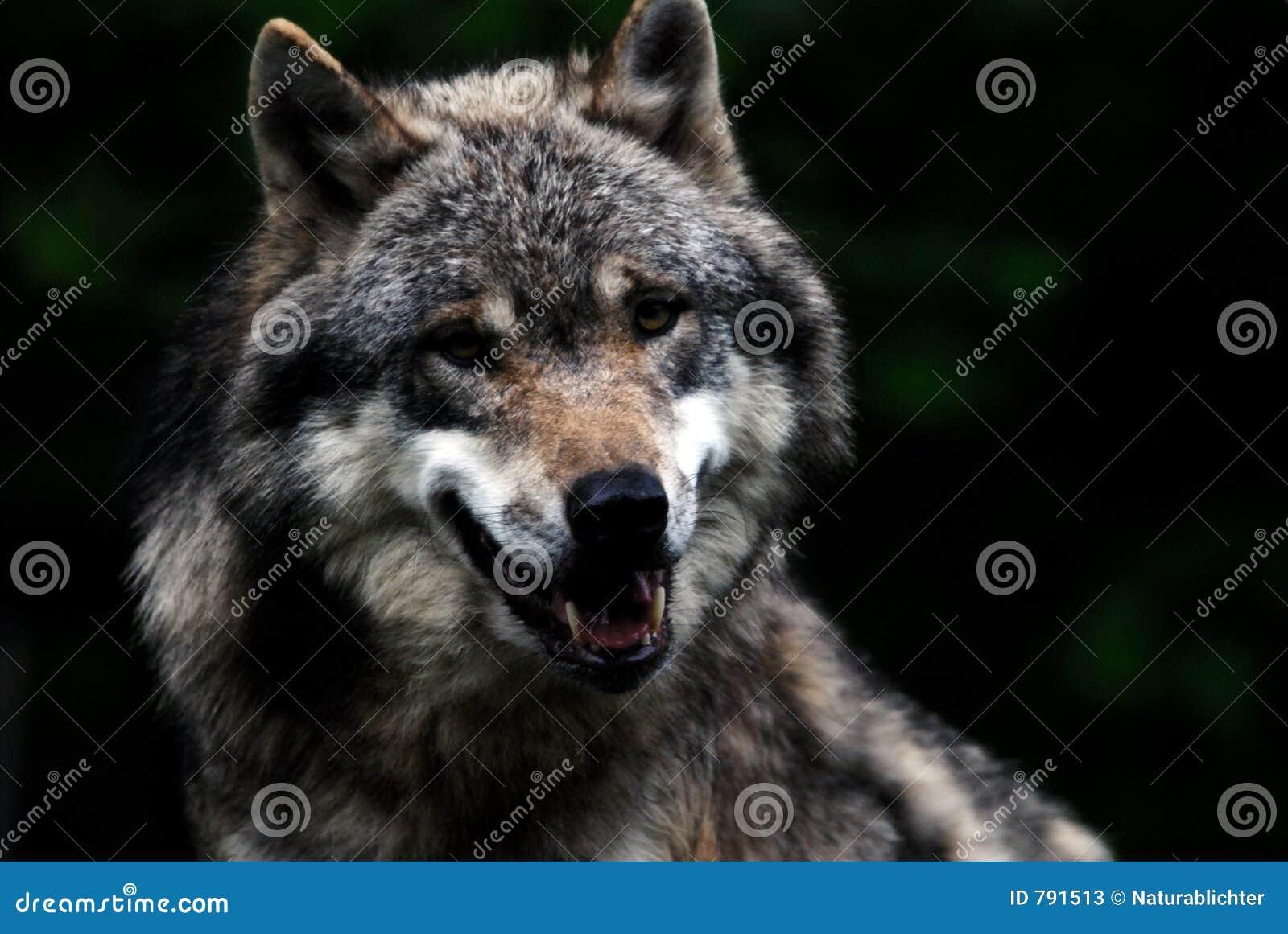 Amorce de loup