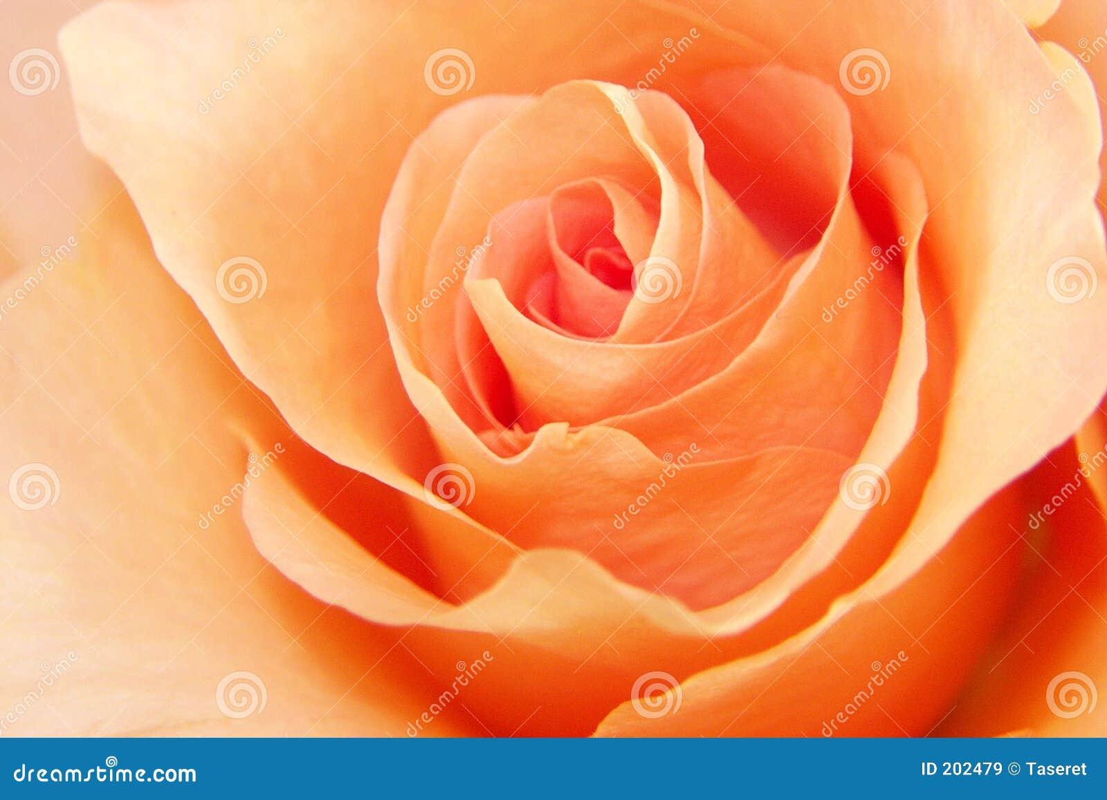 Download Amore Della Rosa Della Pesca Immagine Stock - Immagine di particolare, fiore: 202479