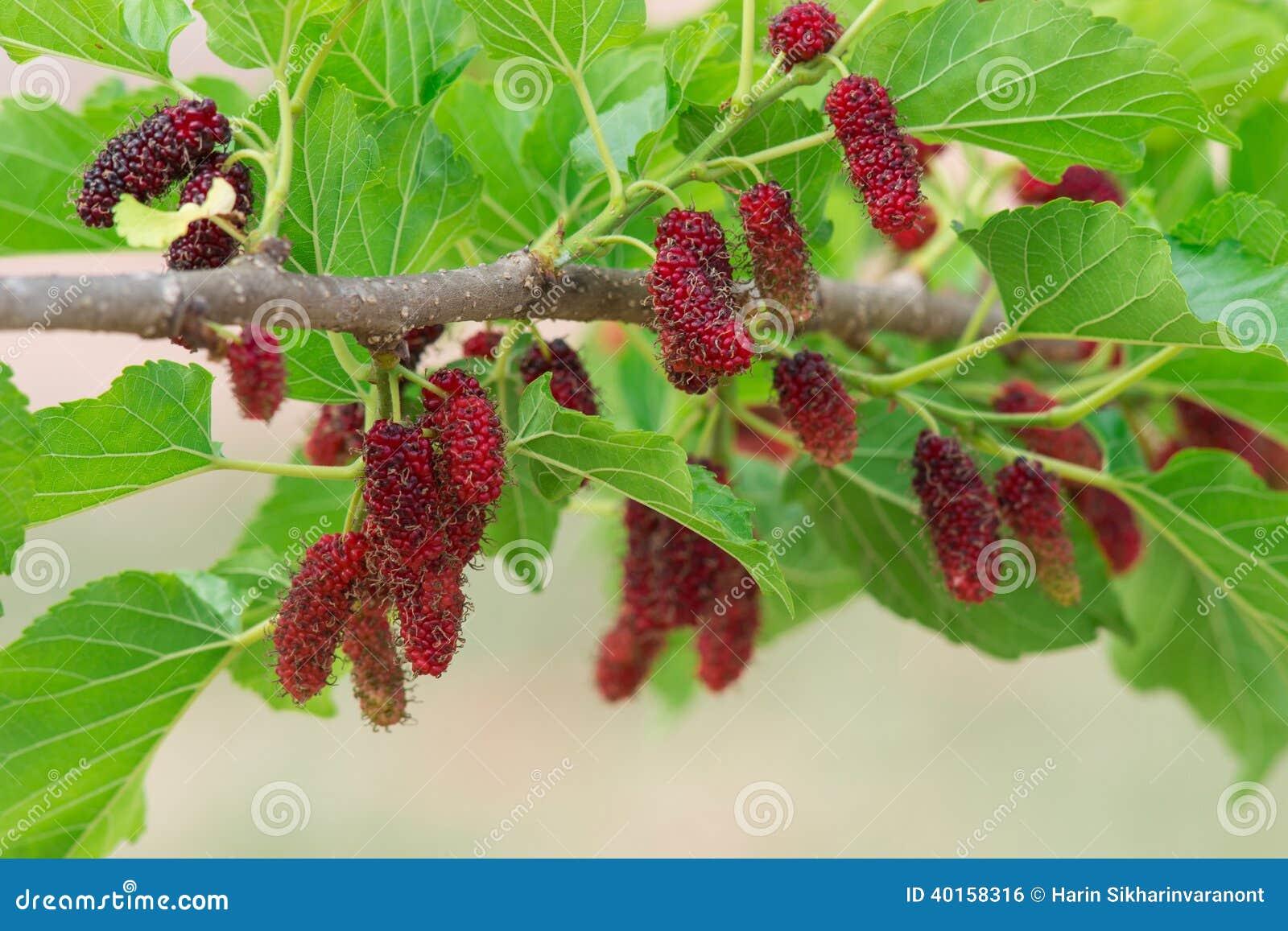 amoreira fresca na árvore fruto de baga na natureza galho da amoreira