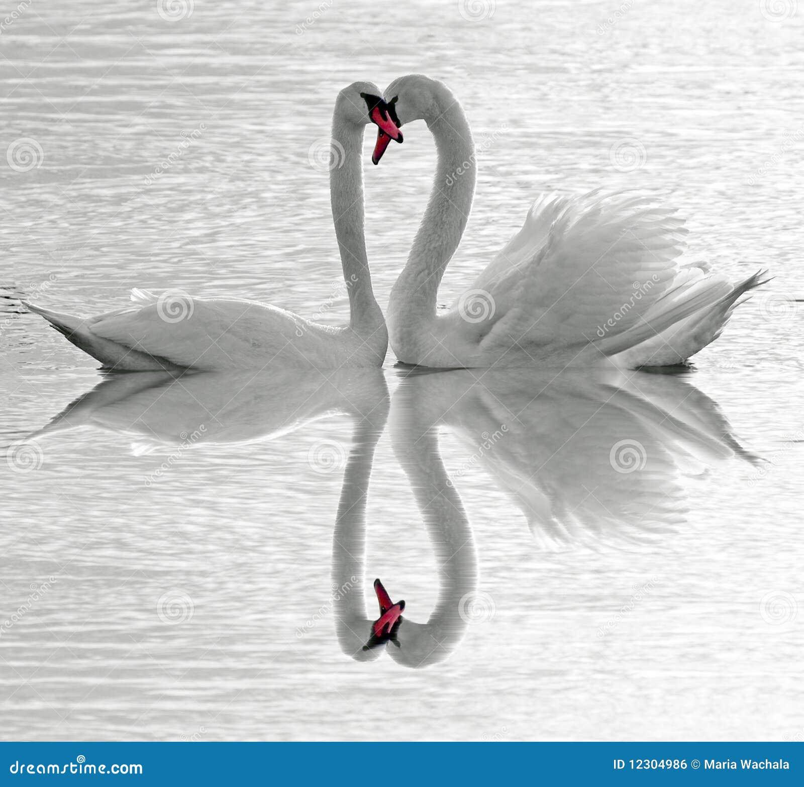 Amour de cygnes