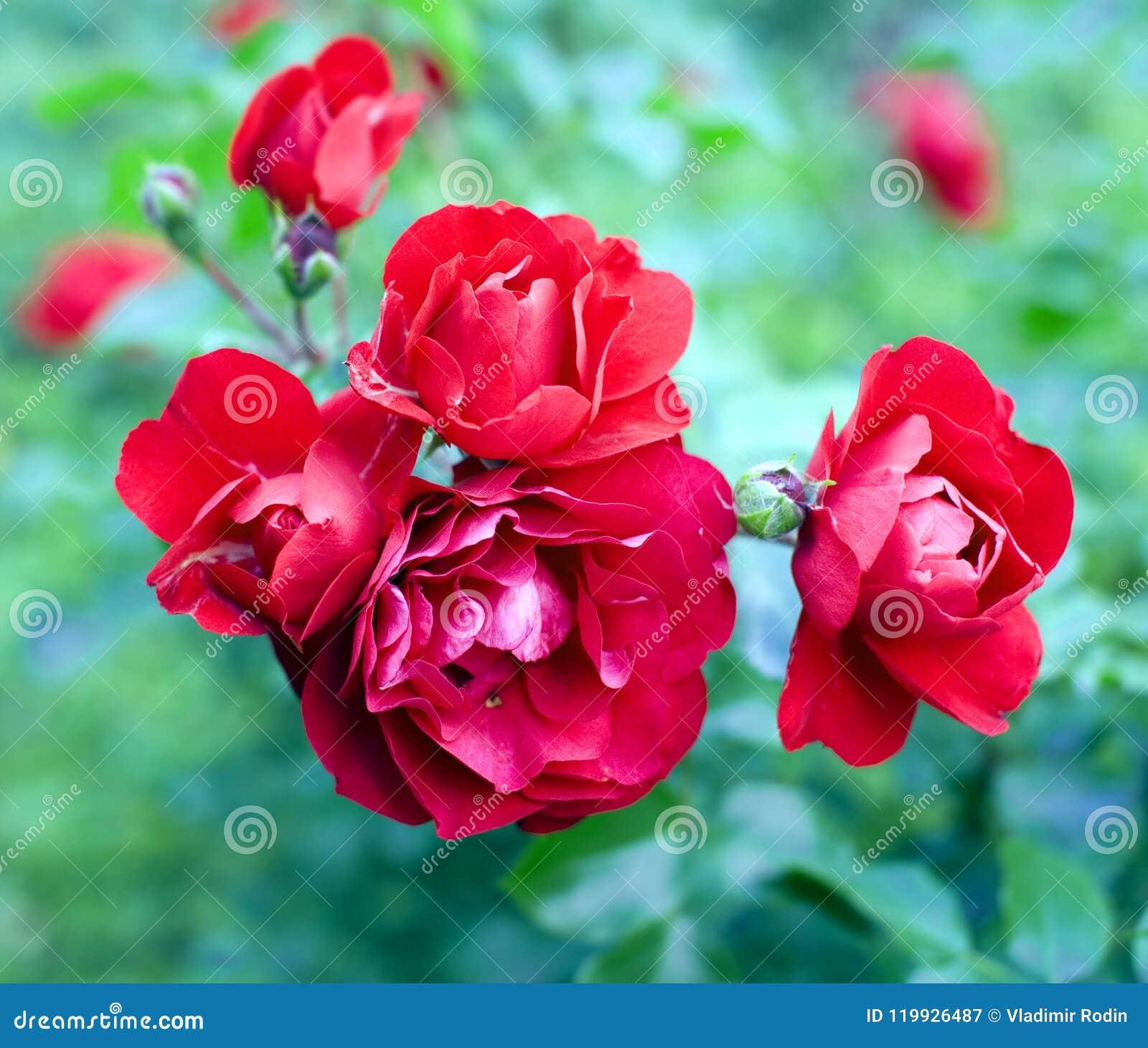 Amour De Symbole De Parfum De Jardin De Plante Ornementale