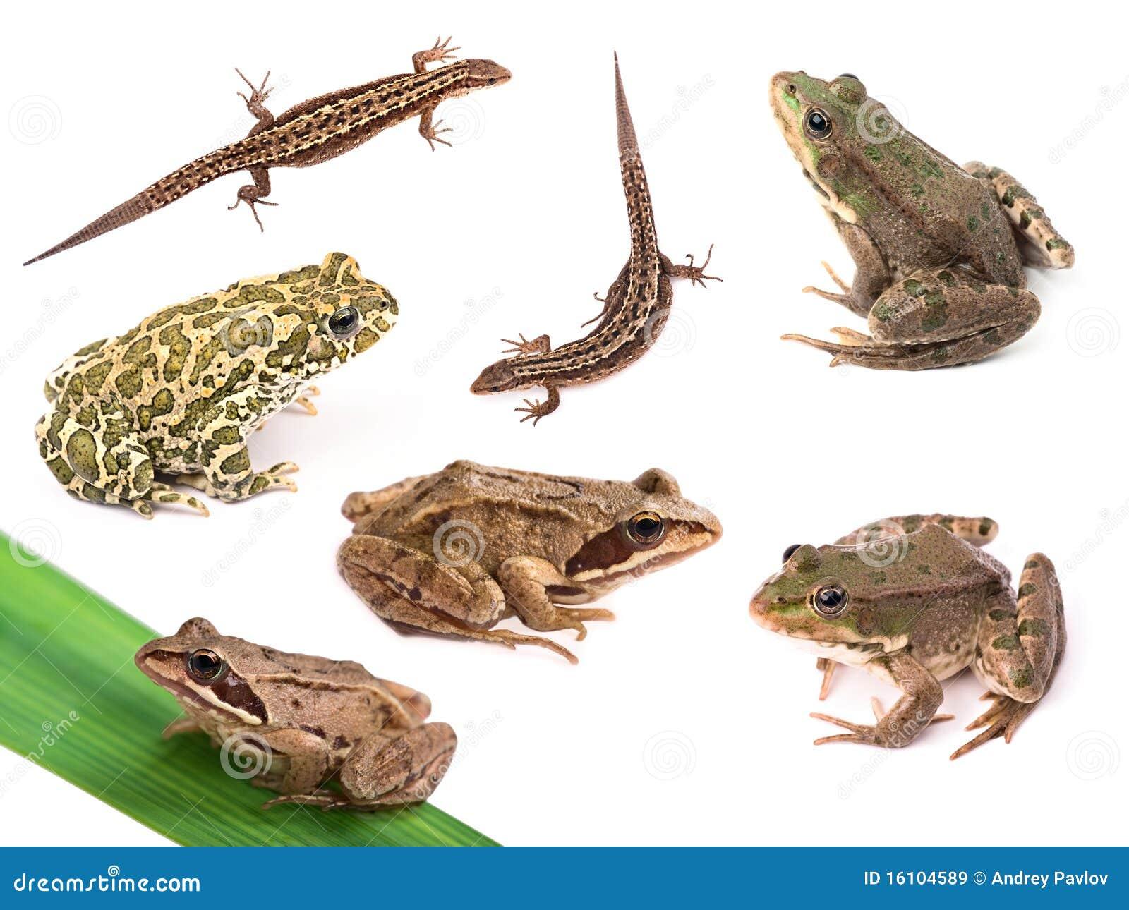 Amphibies et reptiles d isolement sur le blanc