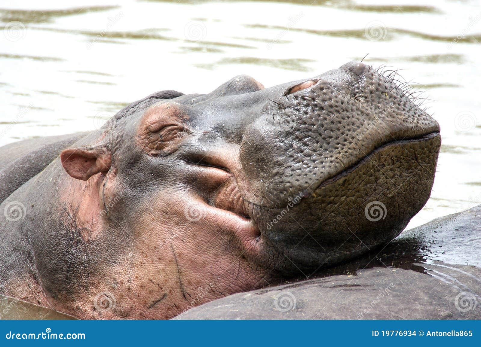 Amphibiusflodhäst