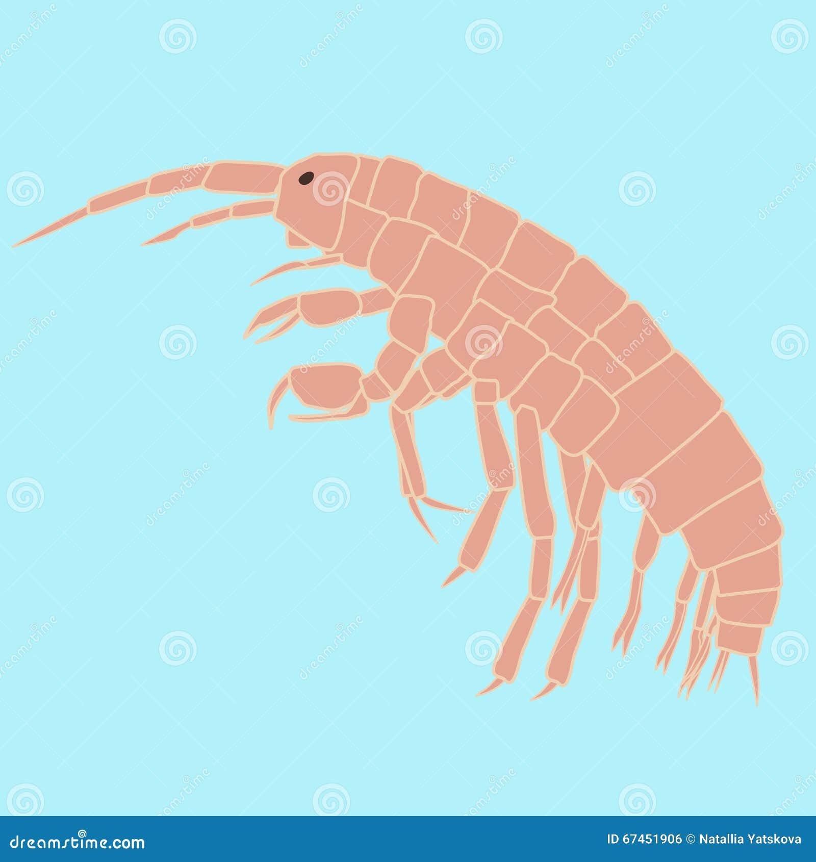 Amphipoda Small Animal Planktonic Organism Stock Vector