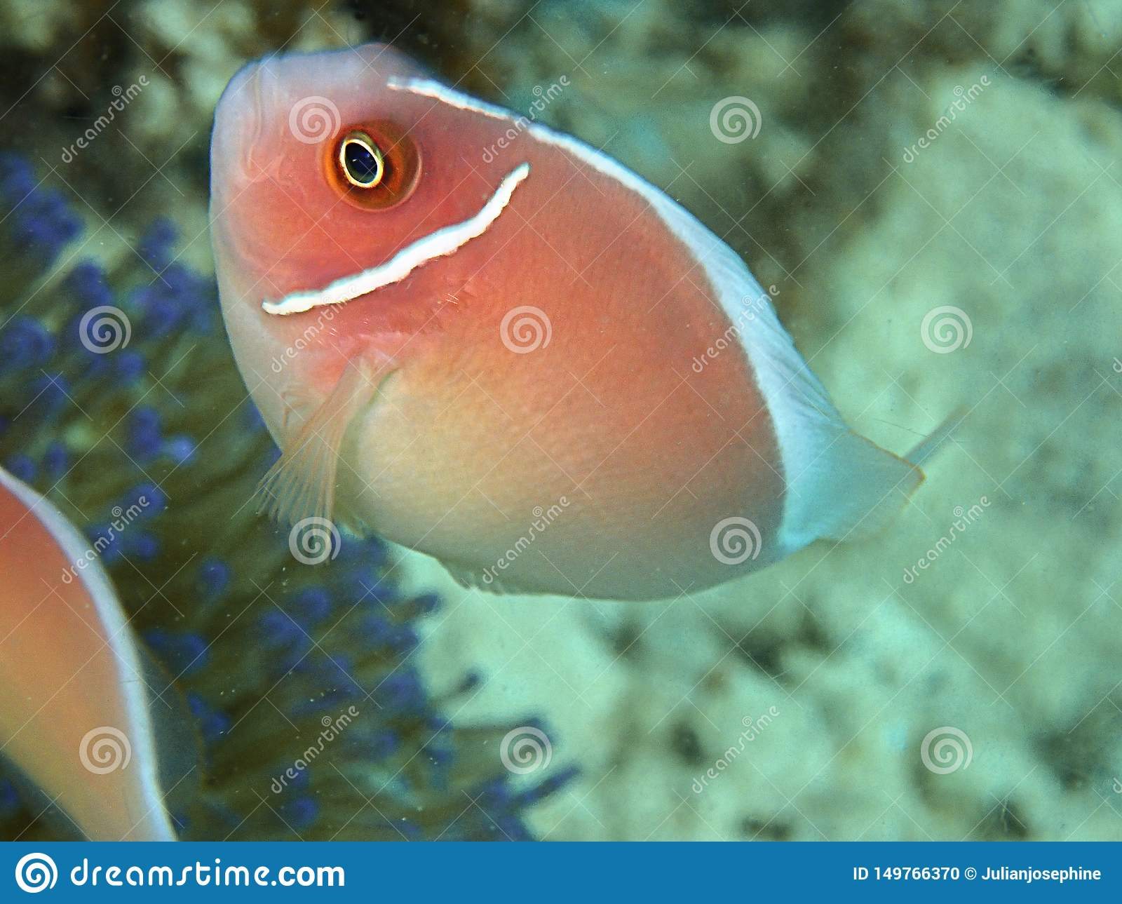 Amphiprion perideraion also known as the pink skunk clownfish or pink anemonefish, is a species of anemonefish.