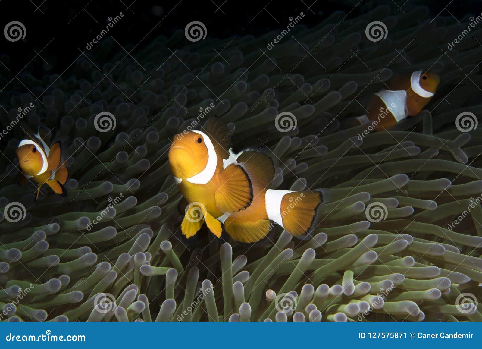 Amphiprioninae Clownfish con la anémona