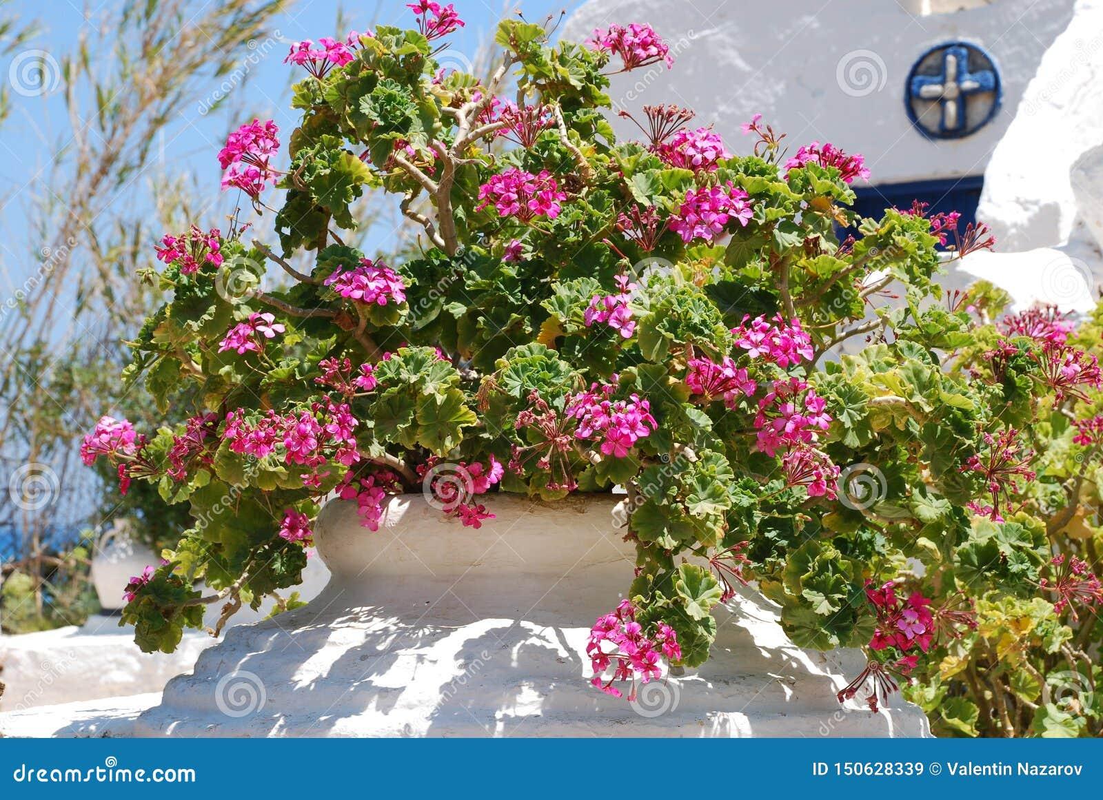 Ampuł menchii kwiaty z 5 liśćmi r w garnku w ogródzie pod piekącym niebieskim niebem i słońcem