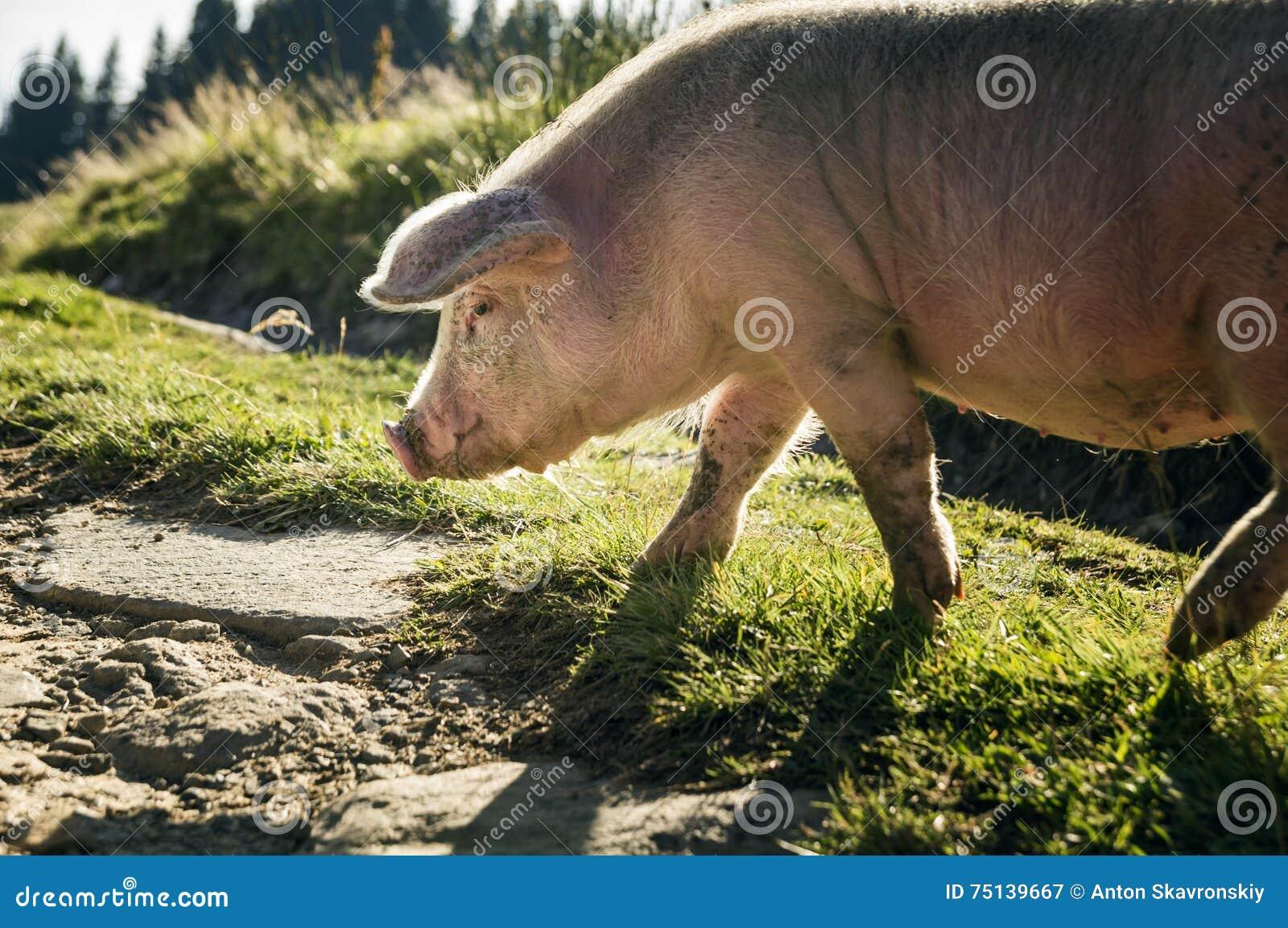 Ampuła, różowa świnia