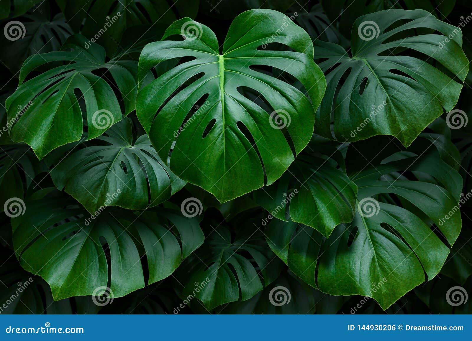Ampuła zielenieje monstera liście na ciemnym tle