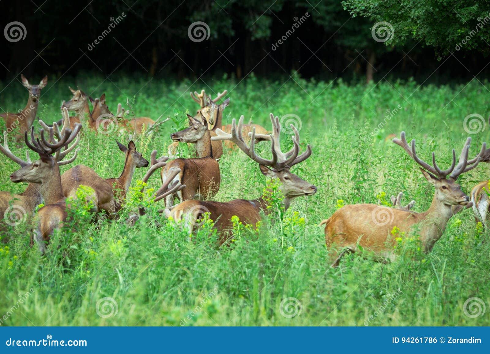 Ampuły grupa chodzi w lasowej przyrodzie w naturalnym siedlisku czerwoni deers i łanie