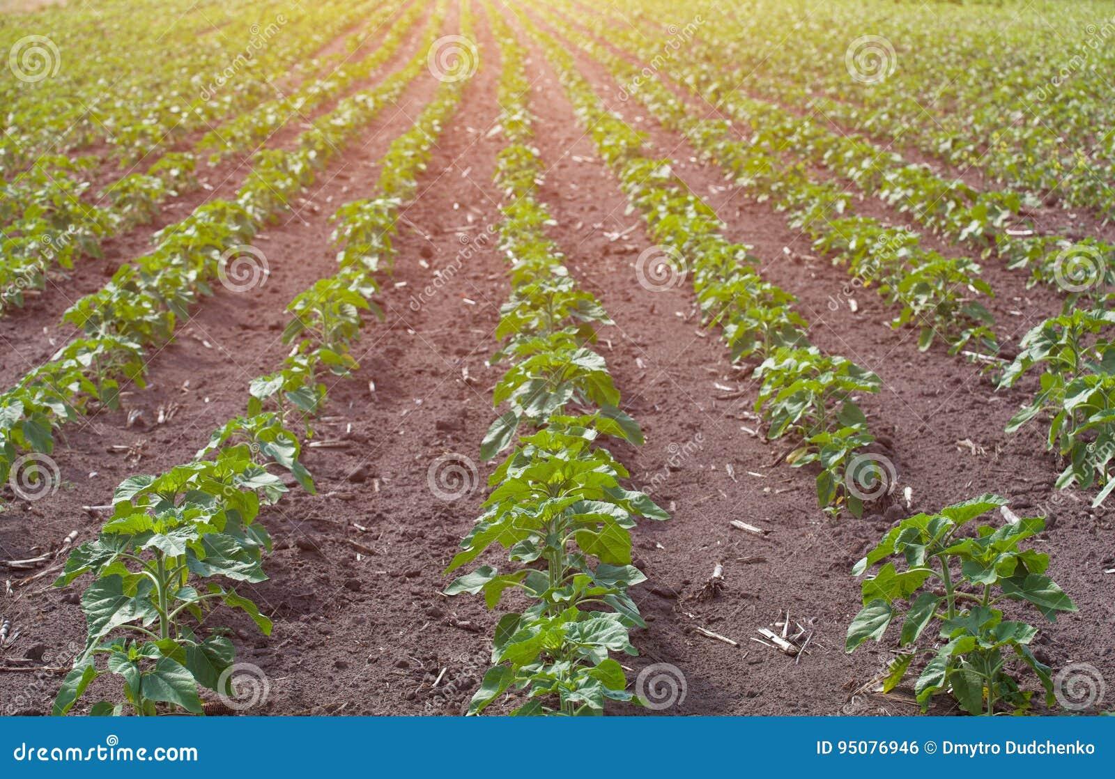 Ampuły pole potomstwa zielenieje, kwitnący słonecznikowy dorośnięcie w gospodarstwie rolnym