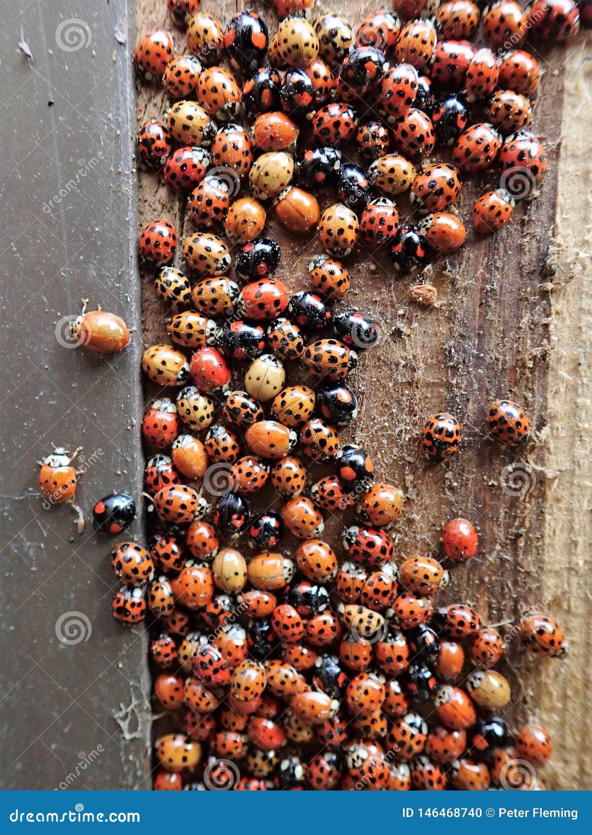 Ampu?y grupa ladybirds niekt?re nierdzenni UK zapada? w sen zimowy w?rodku drewnianego ja?owego kosza