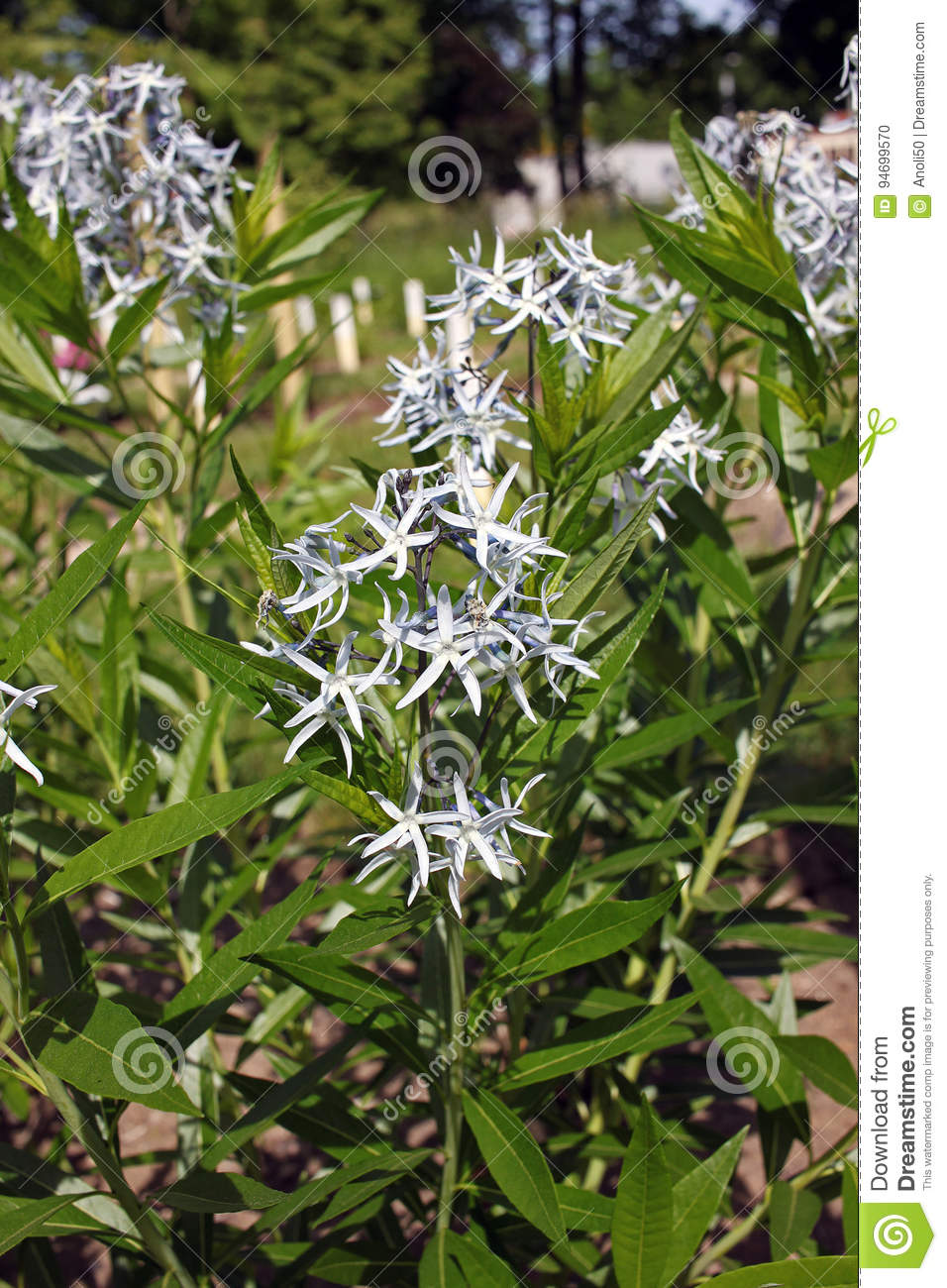 Amsonia Tabernaemontana Flowers Stock Photo Image Of Blue Botanic