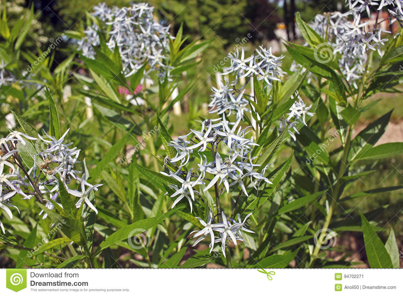 Amsonia Tabernaemontana Flowers Stock Image Image Of Bloom Flora