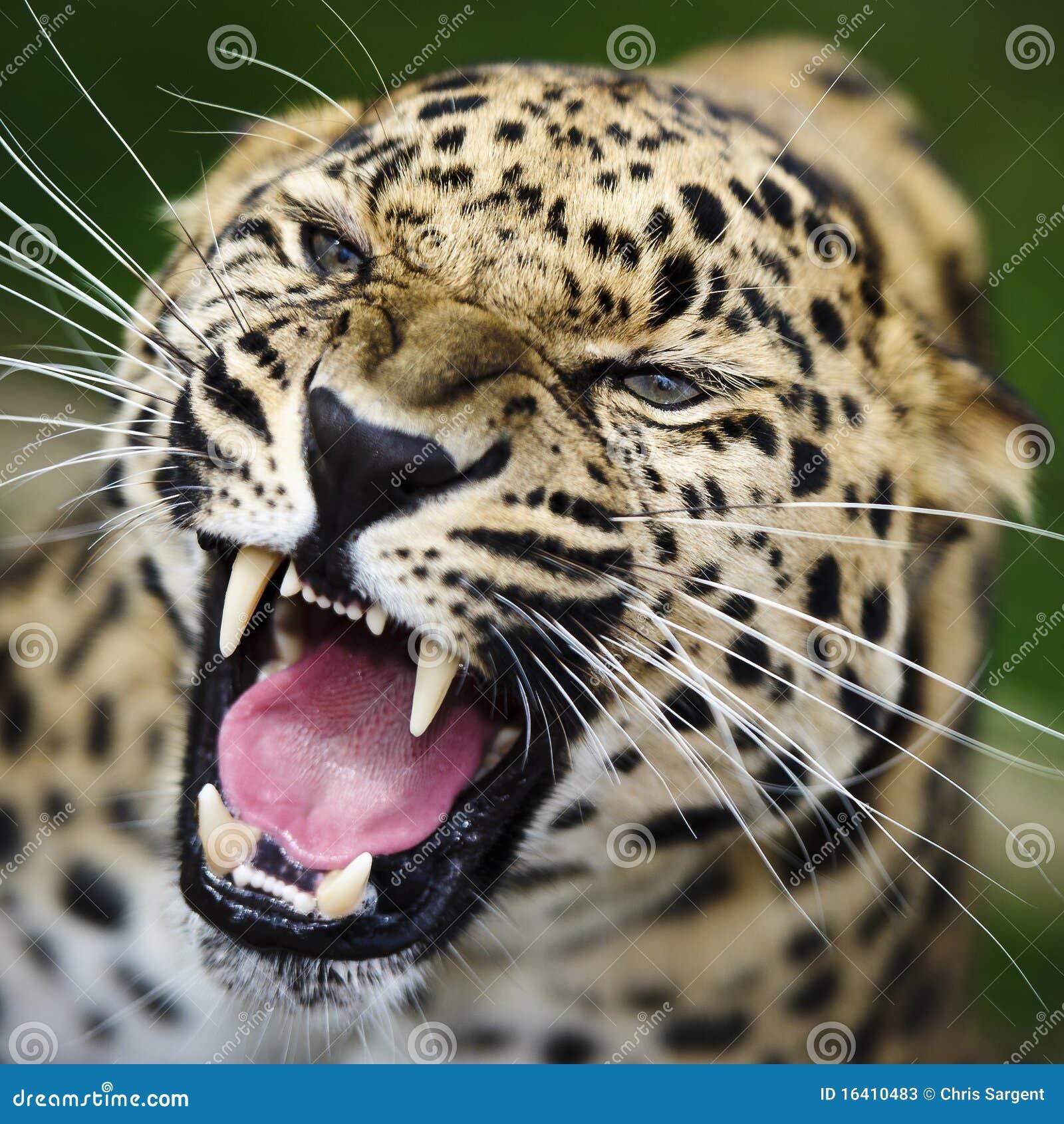 Leopard Growl: Amur Leopard Stock Photos